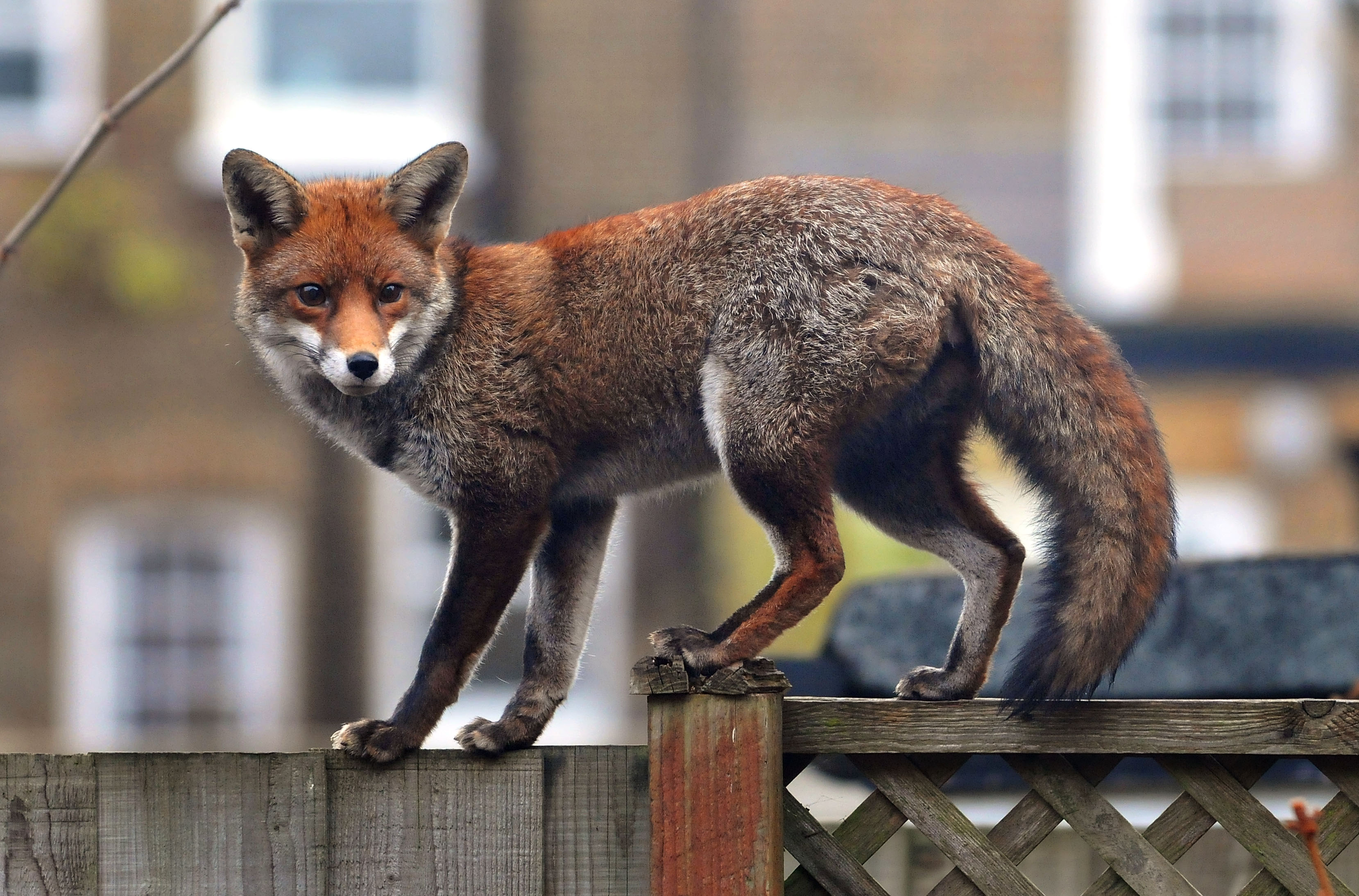 An urban fox prowls along a garden fence in Ealing in London, England.