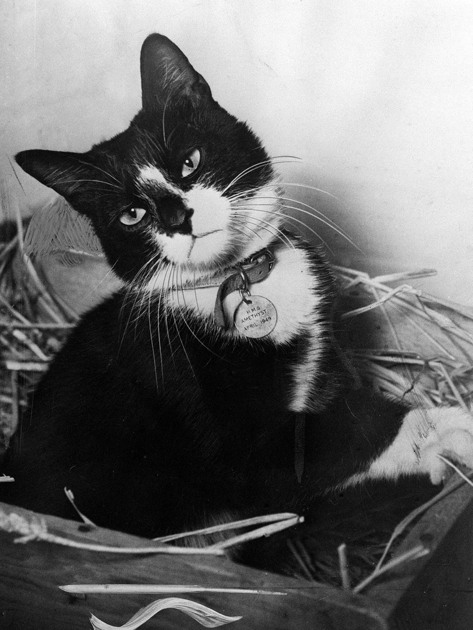 While the men of the  Yangtse Incident  received a heroes' welcome home, Simon, the ships cat of HMS Amethyst and winner of the Dickin Medal - the animals Victoria Cross - rested at the Hackbridge Quarantine Kennels in Surrey.