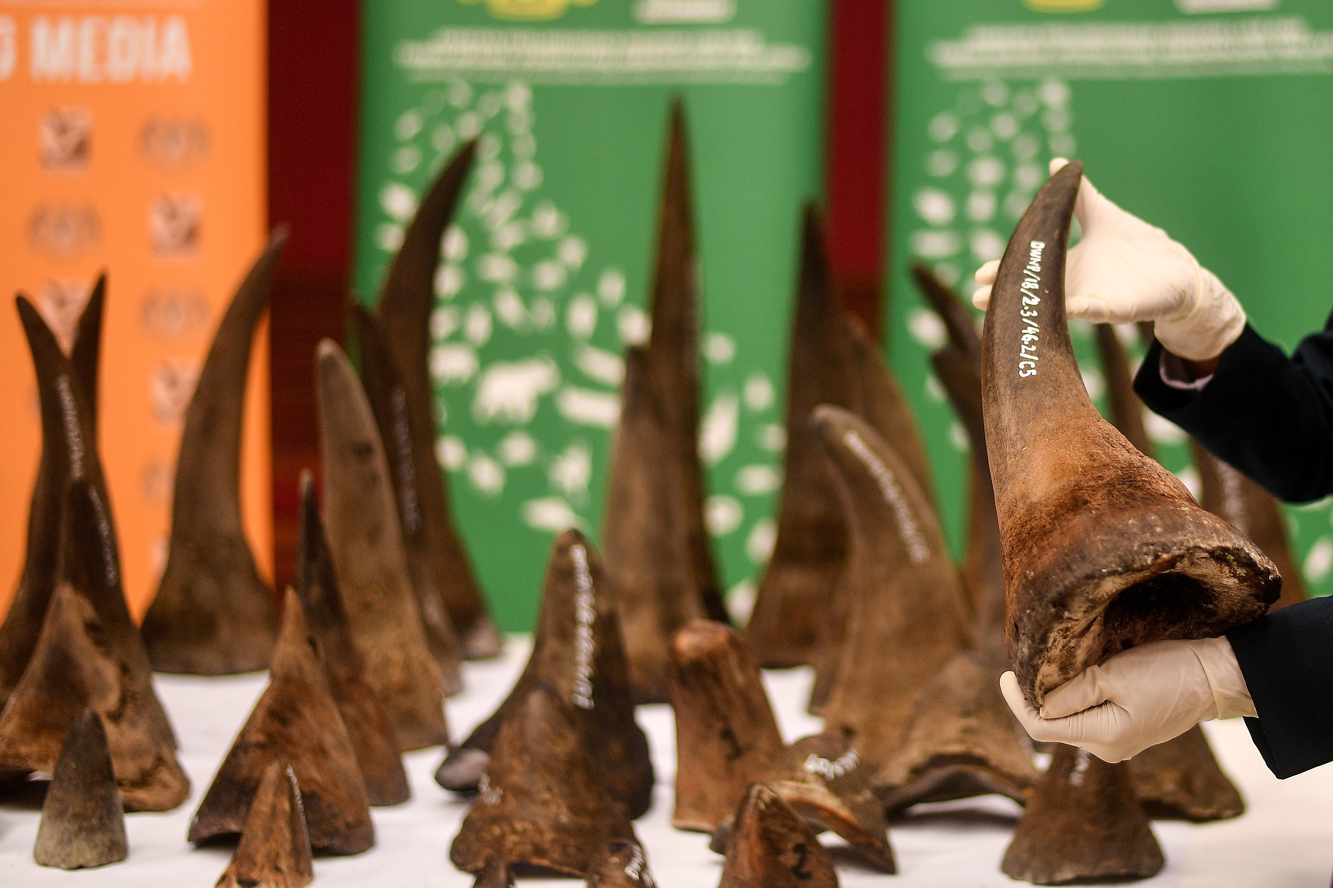 A Malaysian Wildlife official displays seized rhino horns and other animal parts at the Department of Wildlife and National Parks headquarters in Kuala Lumpur on Aug. 20, 2018.