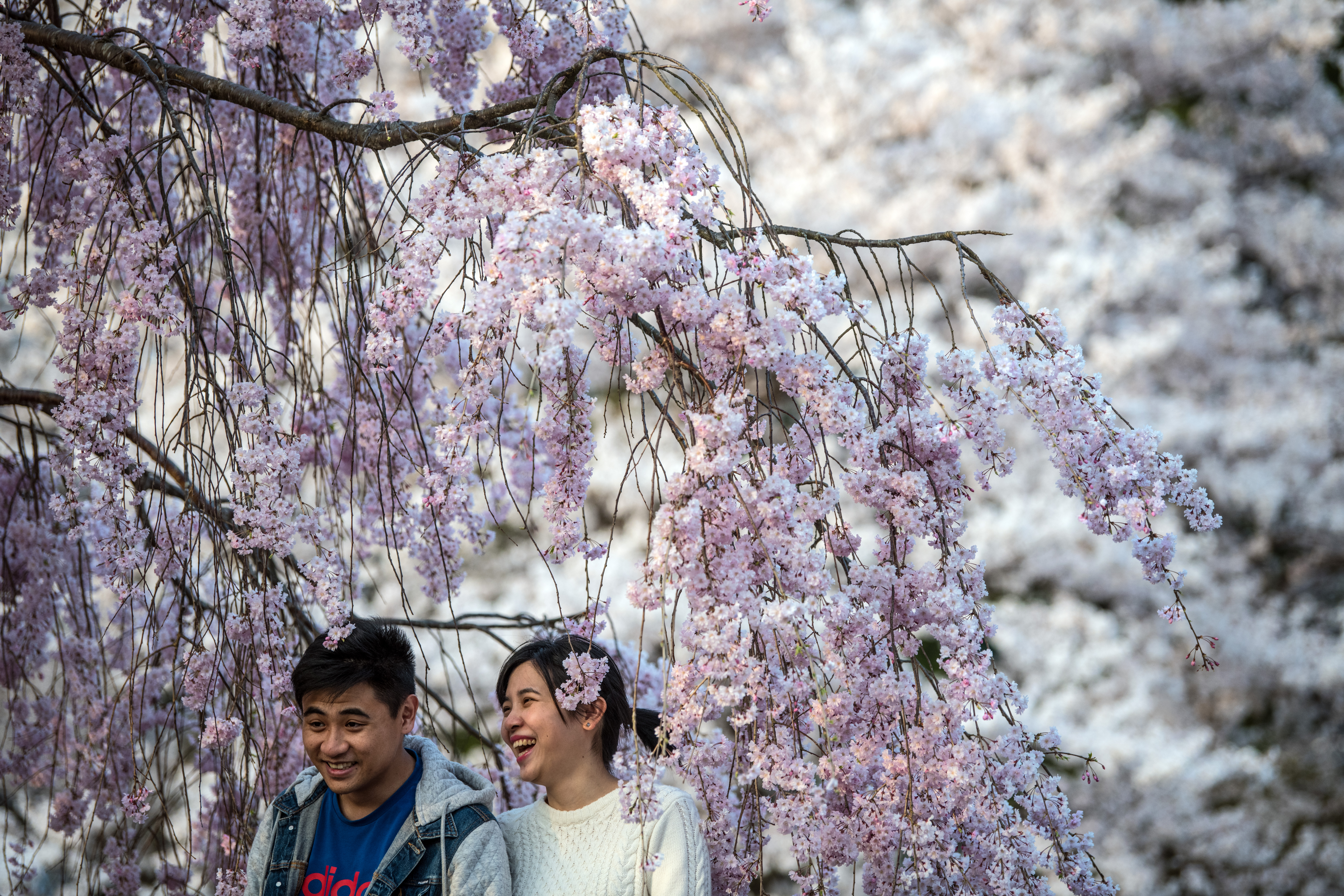 A couple pose for a photograph under a cherry blossom tree in Kameoka, Japan on April 2, 2018.