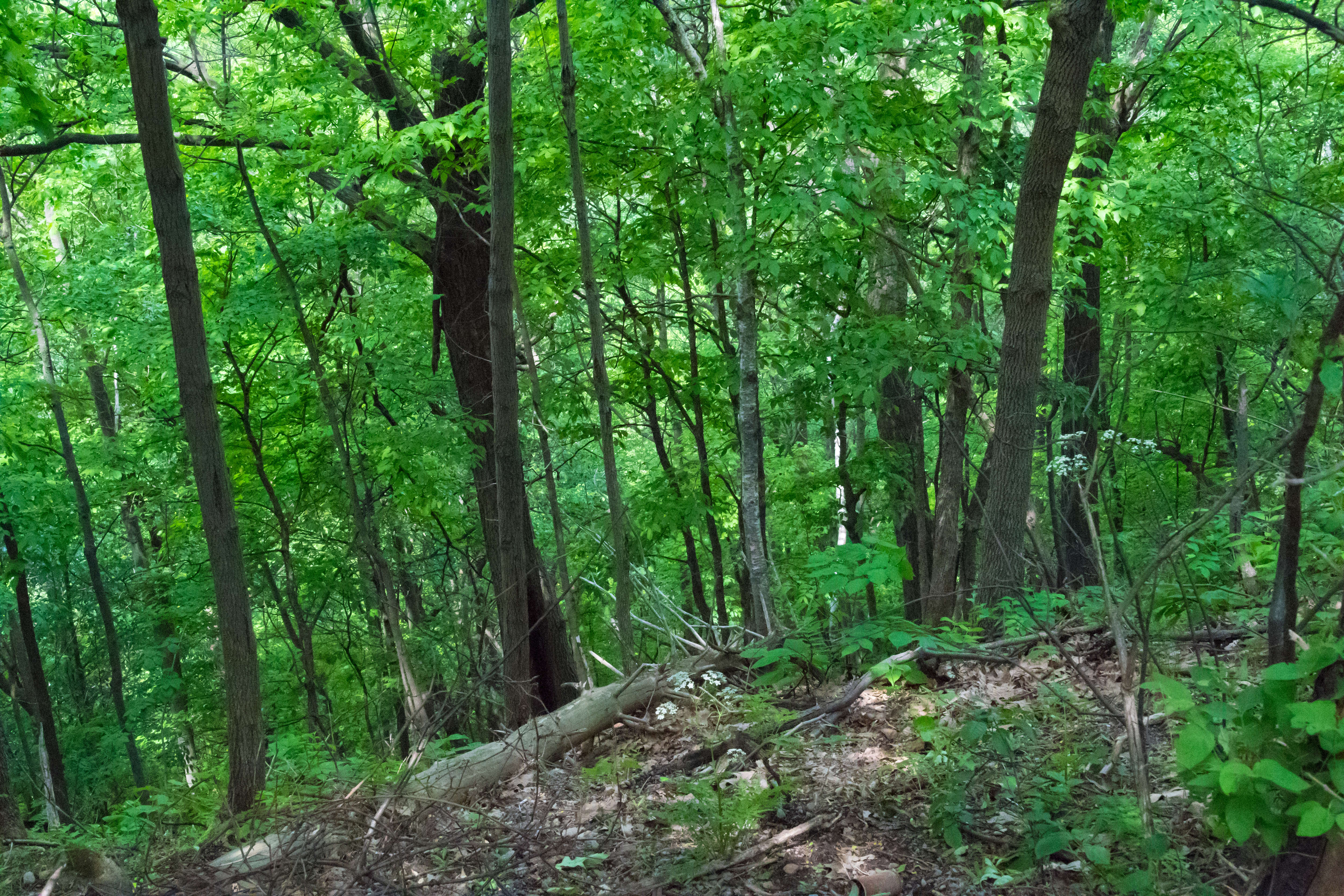 Waking in the woods of Mont Royal. The area by the look out of Belvédère Camillien-Houde offers a beautiful walk in the nature.