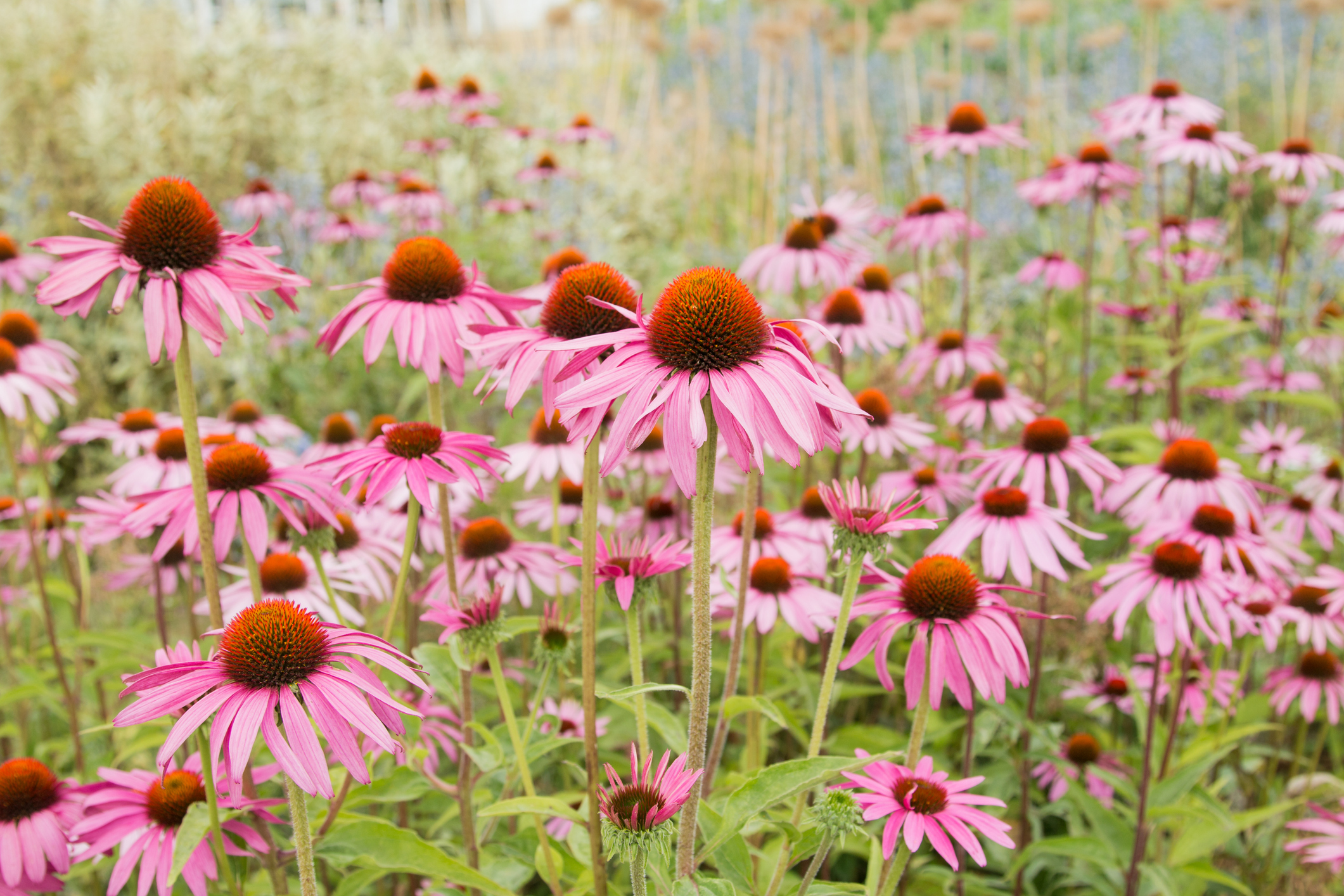 Does Echinacea Work On Colds Here S What The Science Says Time