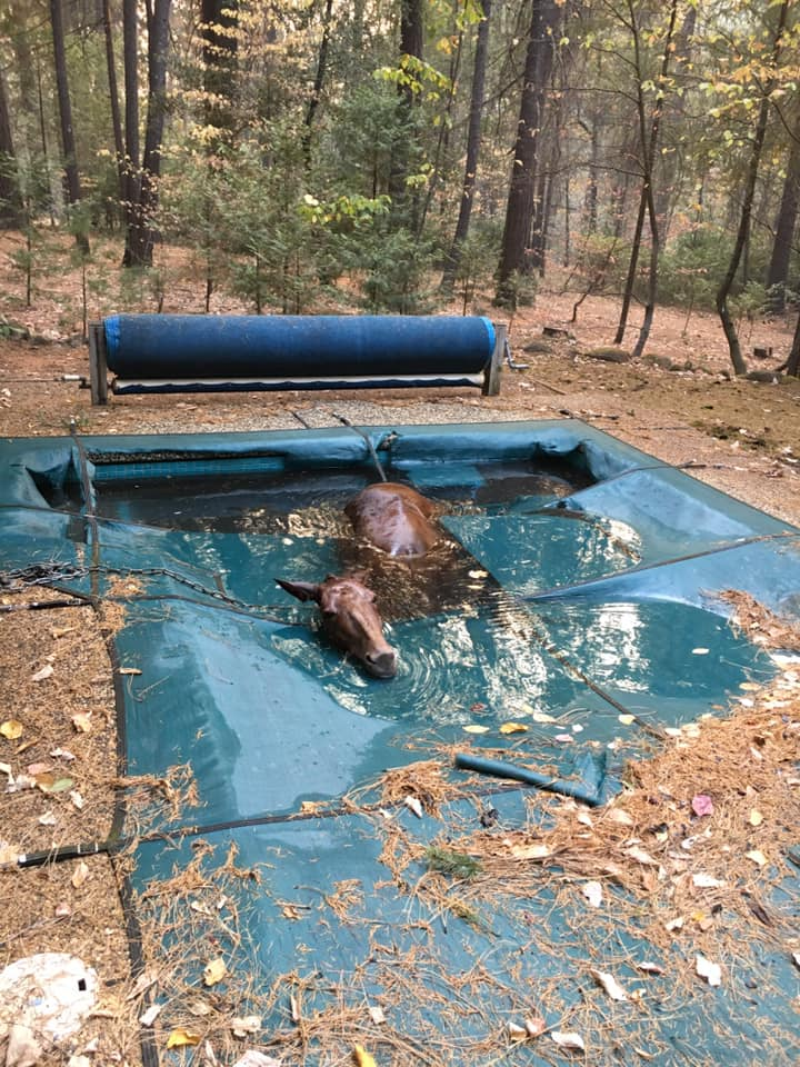 This horse was found shivering and stuck in a pool liner in a backyard in Paradise, Calif.