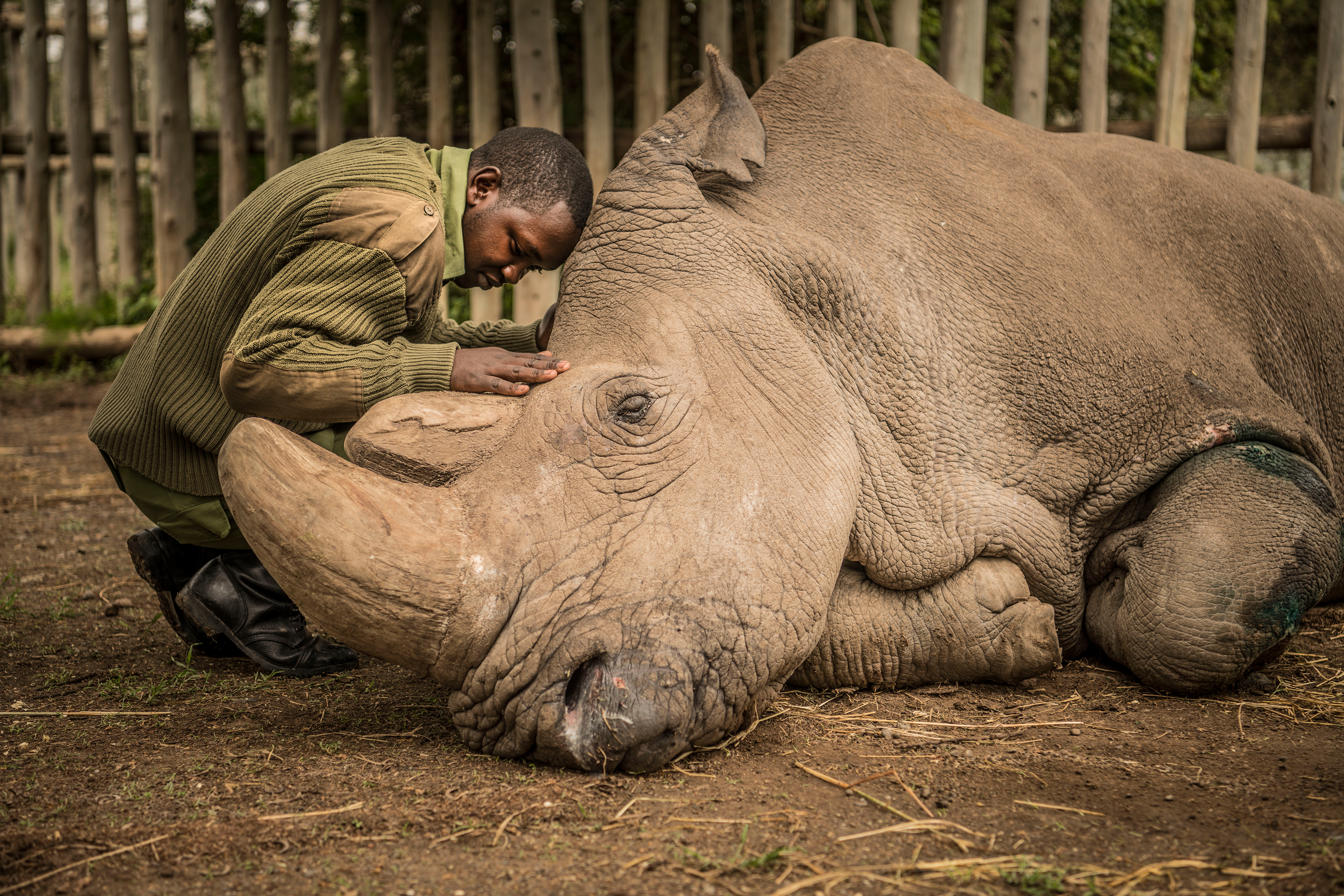 Joseph Wachira, 26, comforts Sudan, the last male Northern White Rhino on the planet, moments before he passed away in March.
