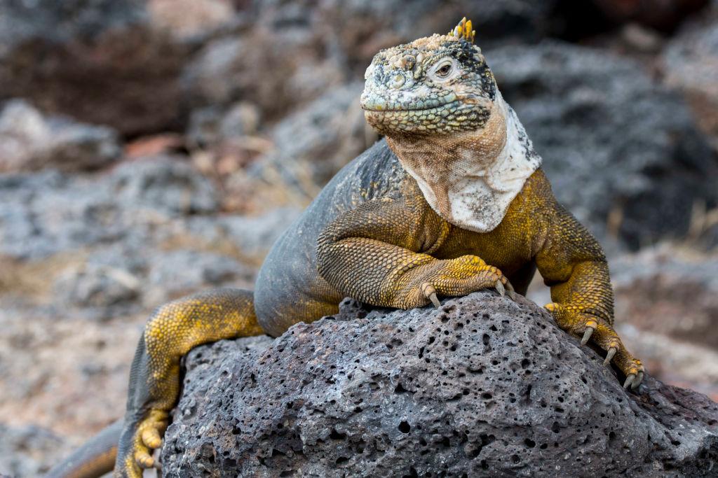 A Galapagos land iguana (Conolophus subcristatus) is seen on South Plaza Island in the Galapagos, Ecuador.