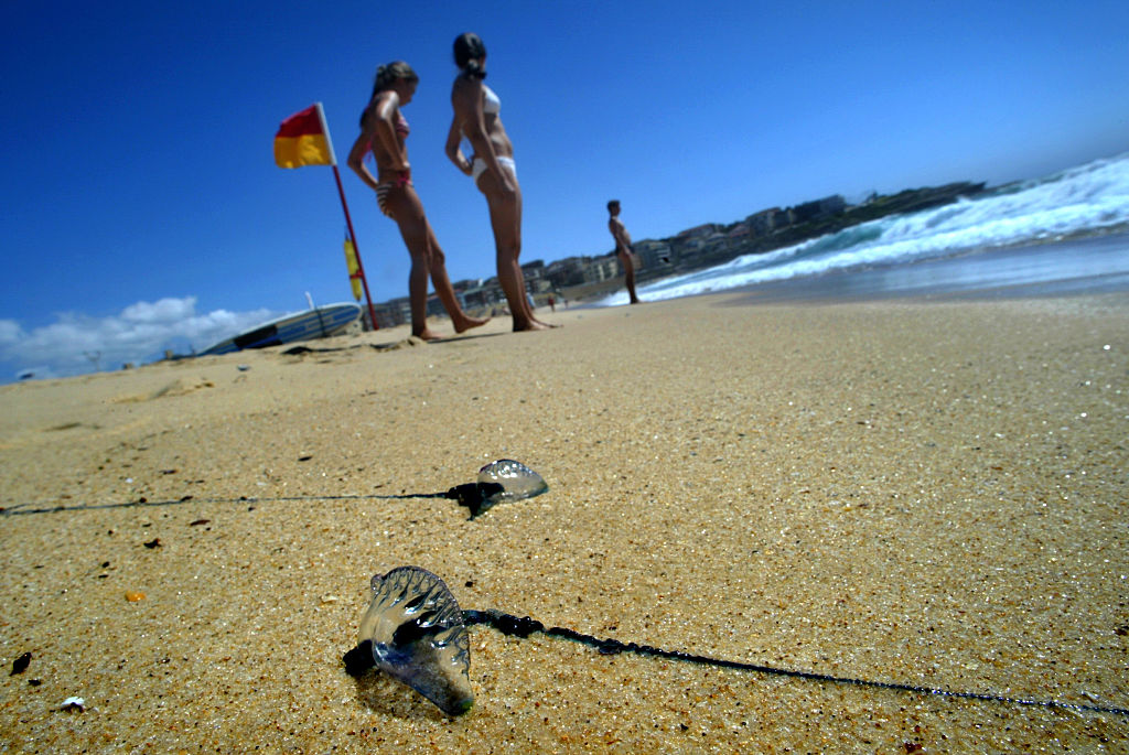 Bluebottle jellyfish washed ashore on Australia's Maroubra Beach, Jan. 30, 2006.