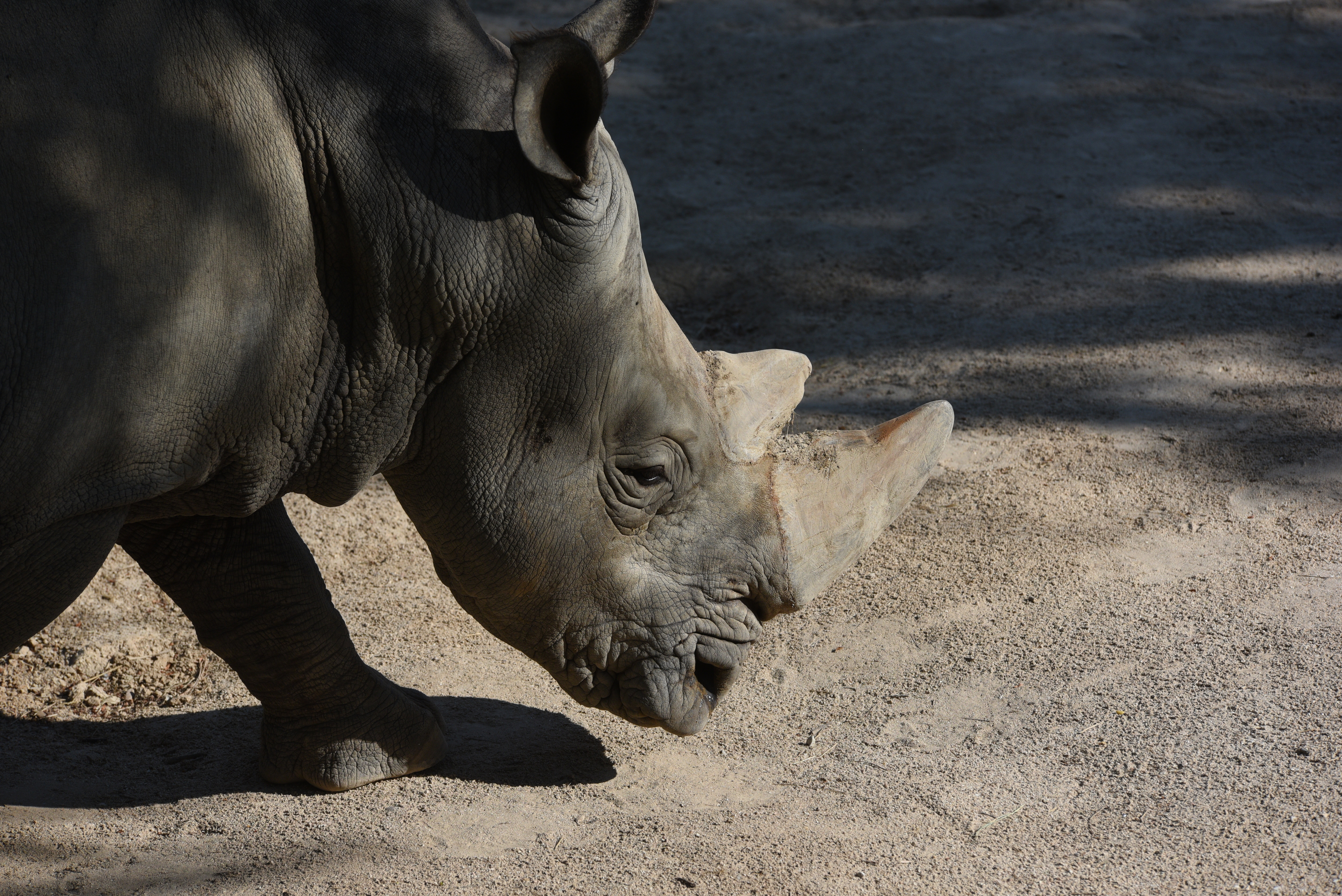A white rhinoceros cools off in the water in her enclosure.