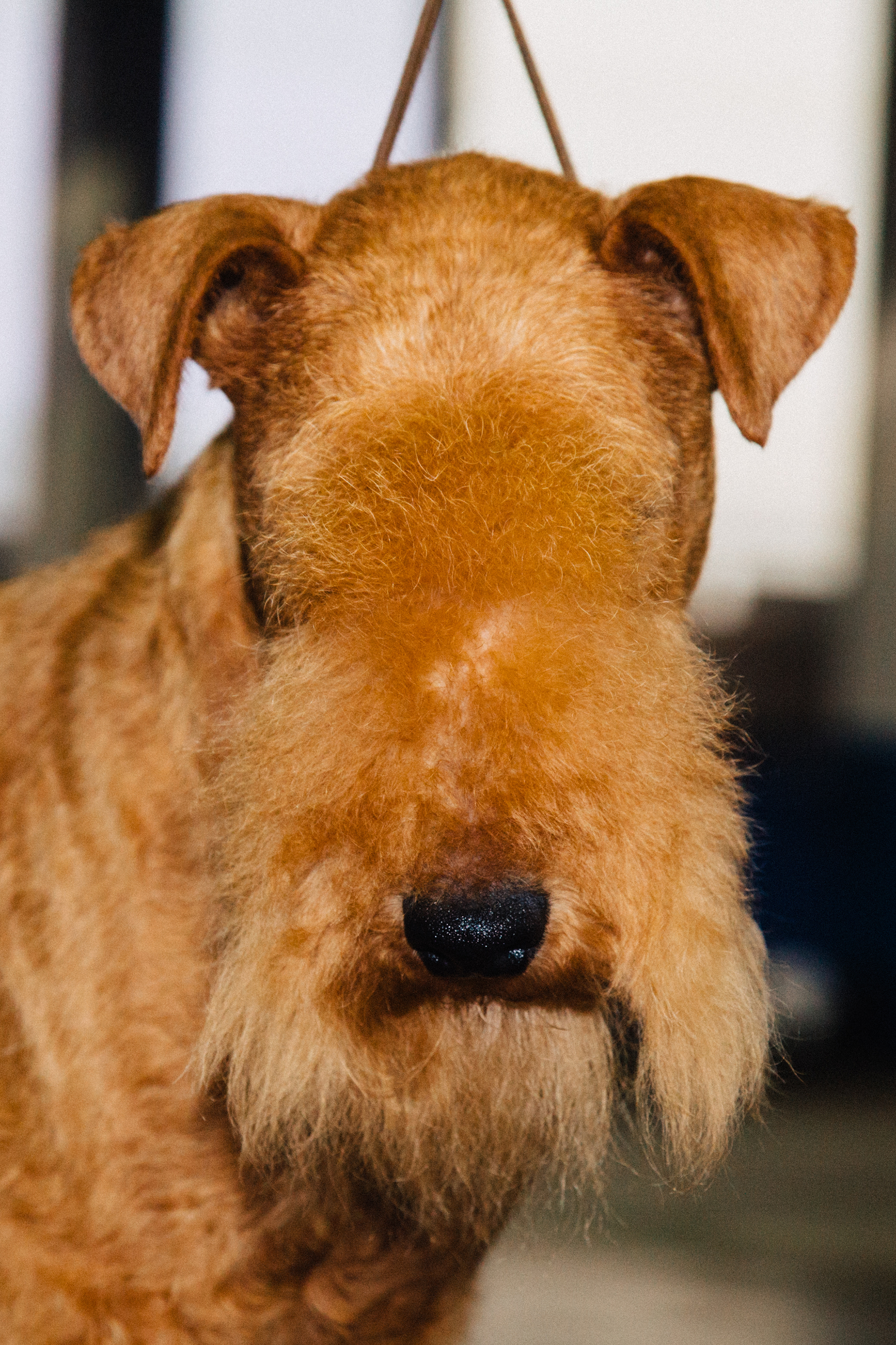 The Lakeland Terrier, a hypoallergenic dog originally bred in England, was one of dozens of terrier categories at Westminster