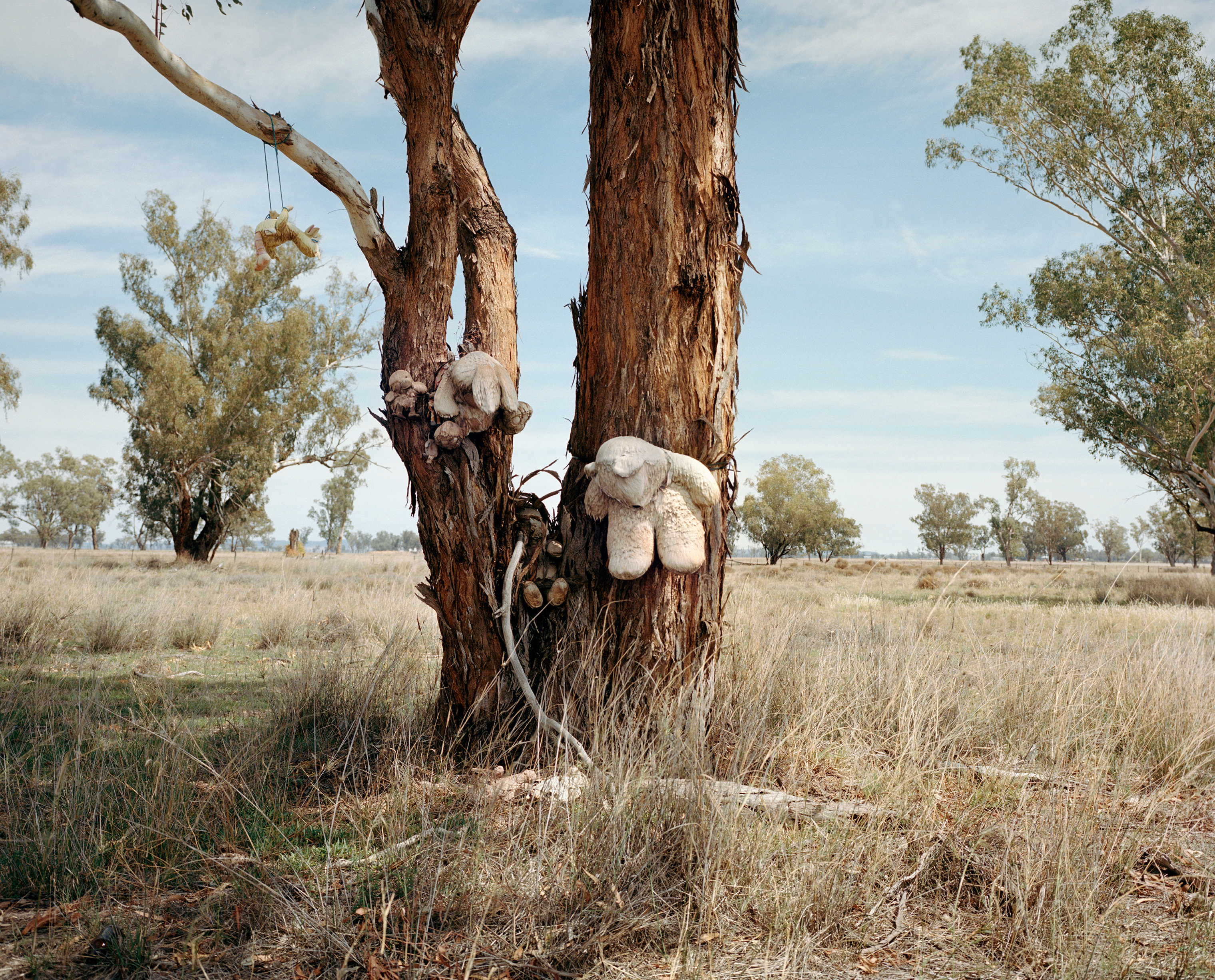 Stuffed animal toys are attached to a tree on the roadside of the Kamilaroi Highway, north of Gunnedah in New South Wales, in November.