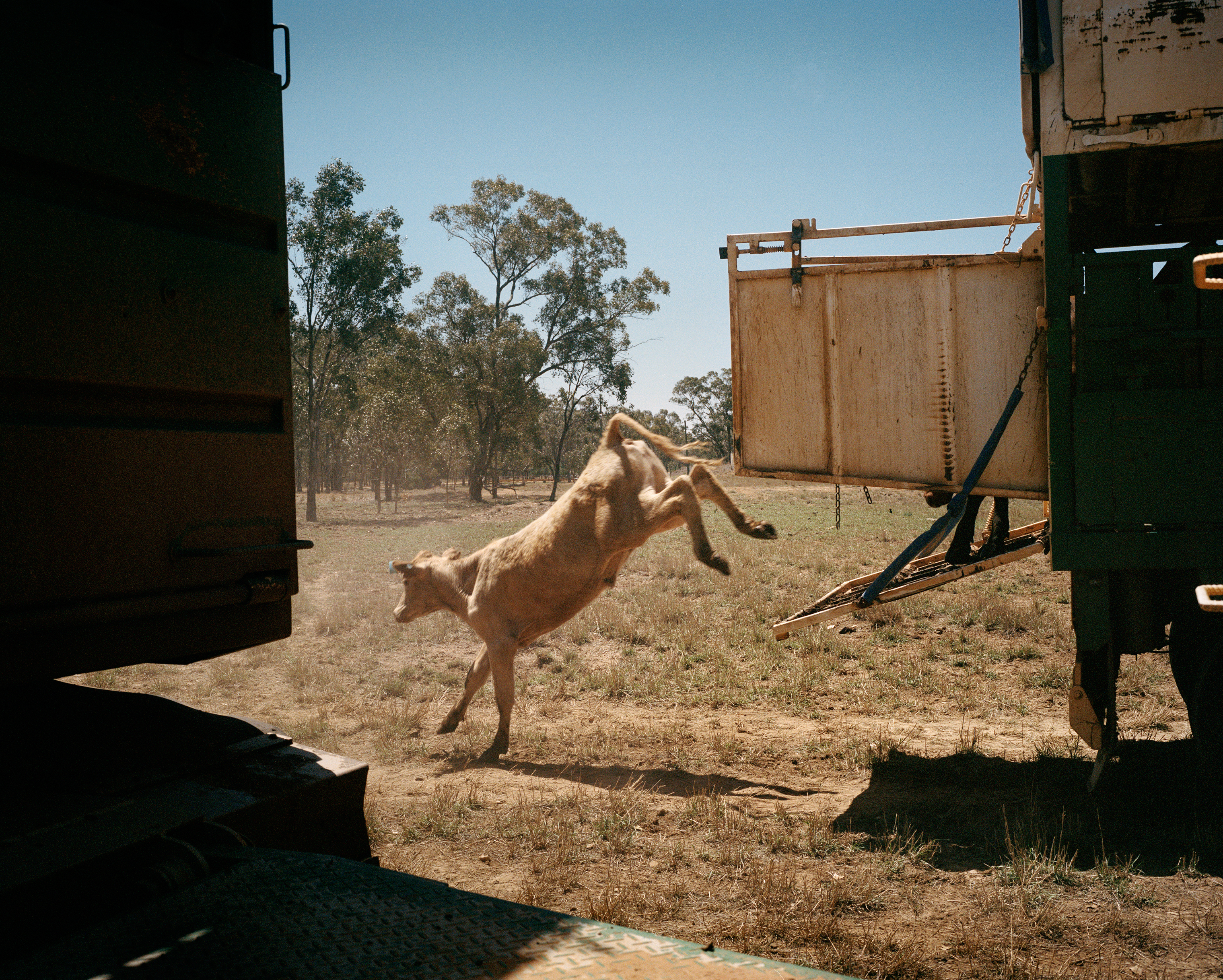 A cow jumps off a truck at Dulbydilla stock route in Queensland in November. Drover Billy Skinner receives cattle that have been trucked from a drought-affected area near Tambo and will be droved to an area with adequate feed.