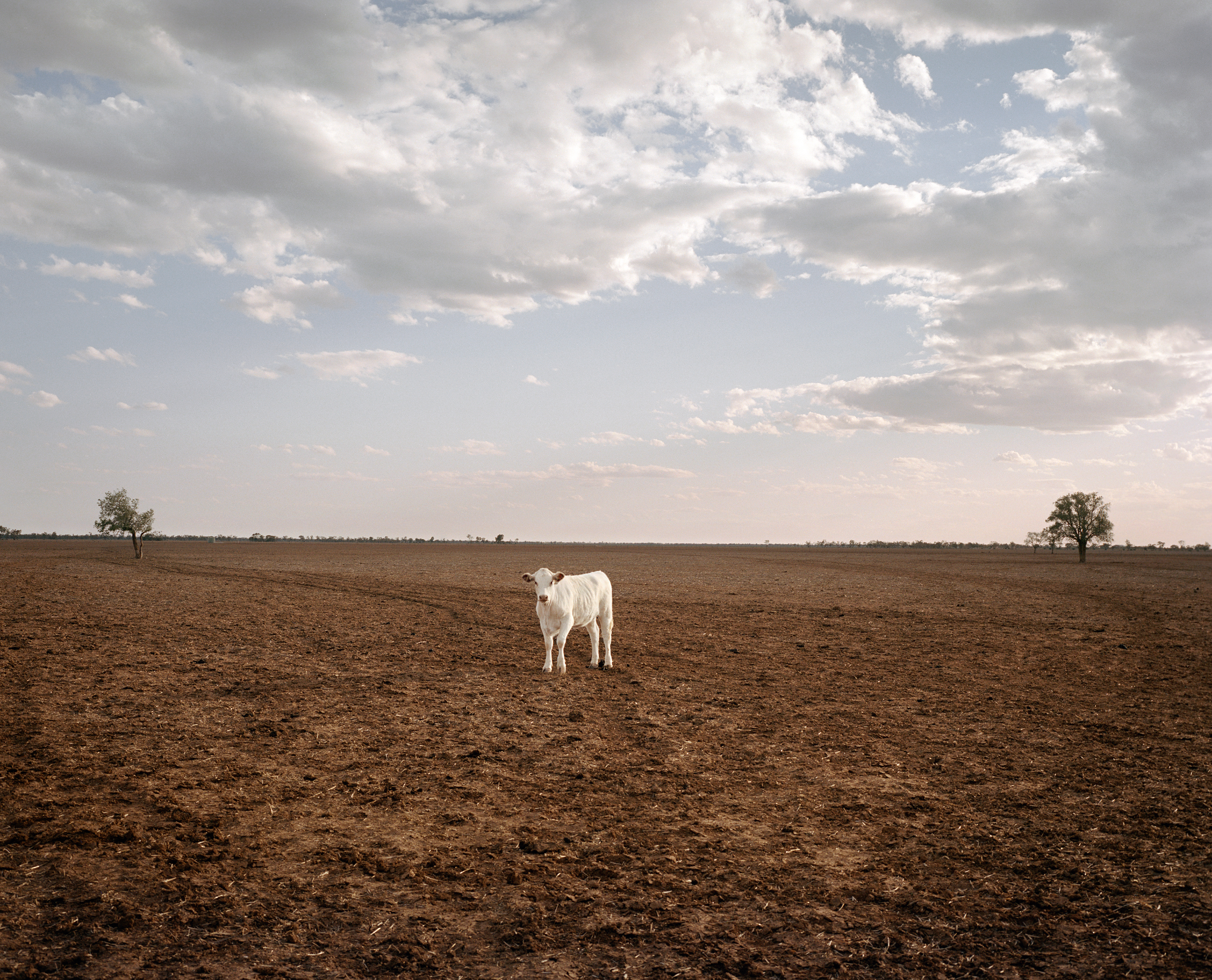 A cow stands in a paddock on Ashantee Property near Walgett in New South Wales in November. Ashantee is owned by farmer Ed Colless, who has only planted one crop in six years because of the drought.  If we miss 2019,  he says,  it will be tough.