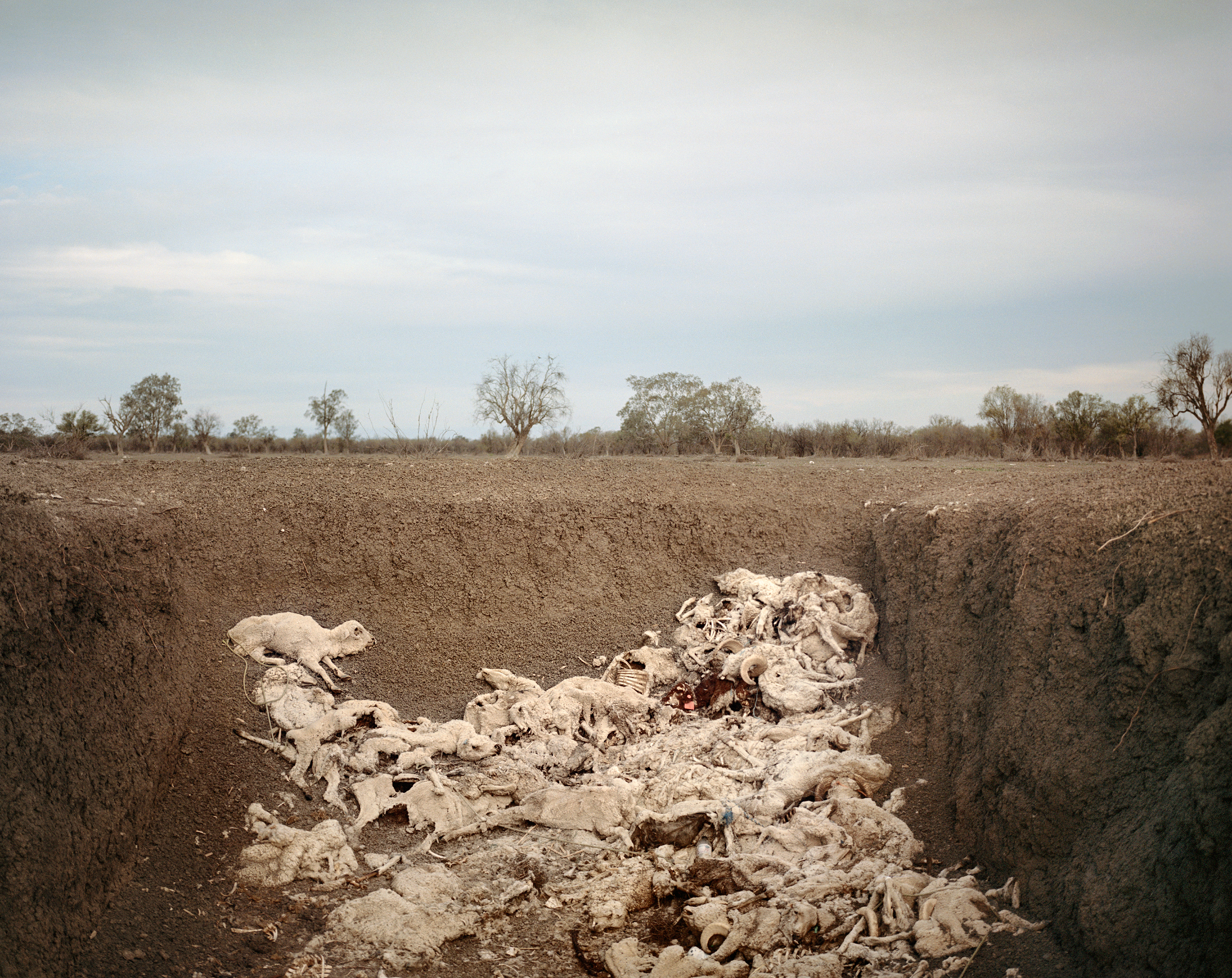 The carcasses of sheep dead from drought-related causes are deposited in a pit on Slack-Smith's farm near Pilliga in November.