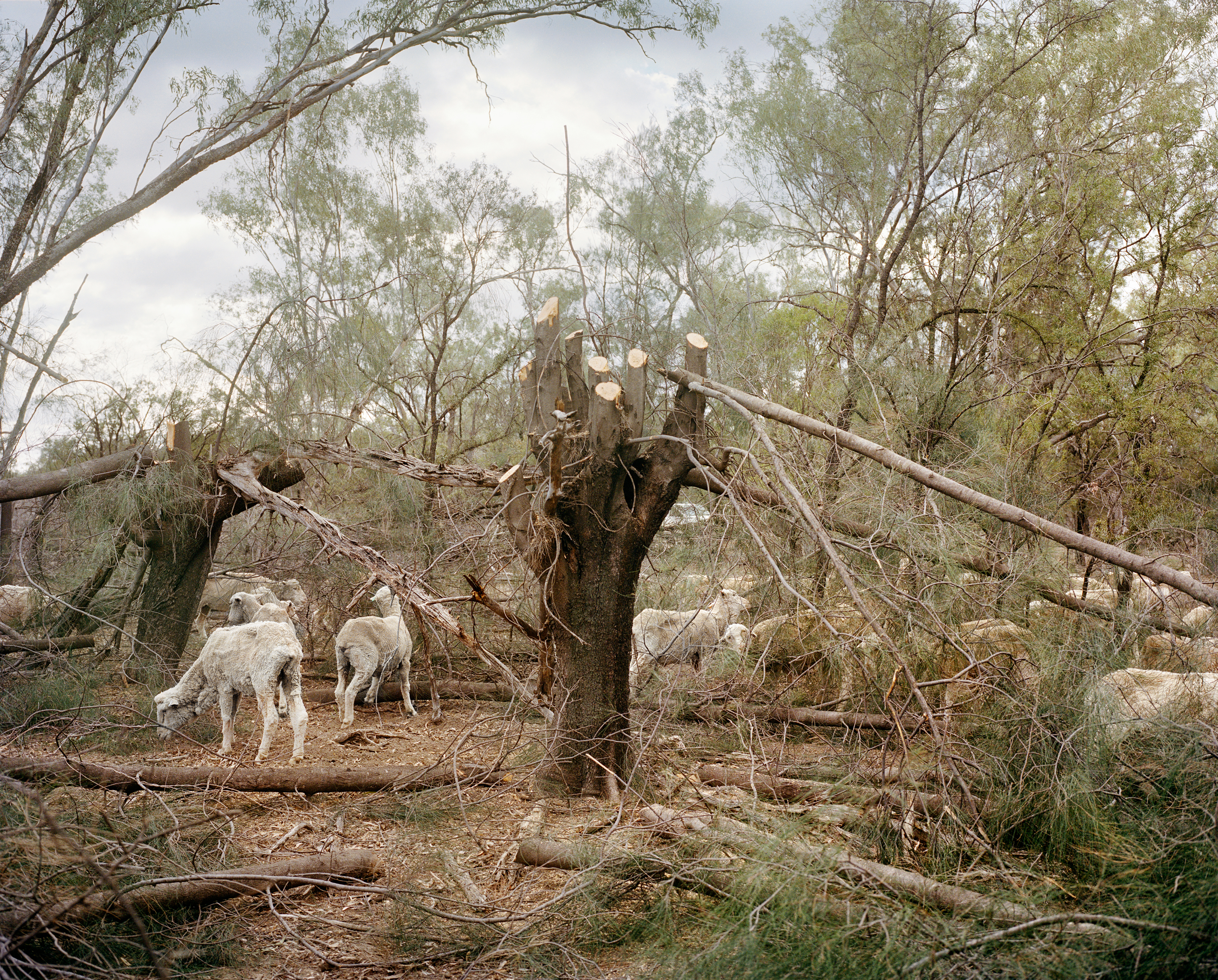 Sheep graze on branches cut by farmer David Cross on a farm near Hebel, along the New South Wales-Queensland border, in November. Cross chops the branches or whole trees several times a week, instead of buying costly feed.