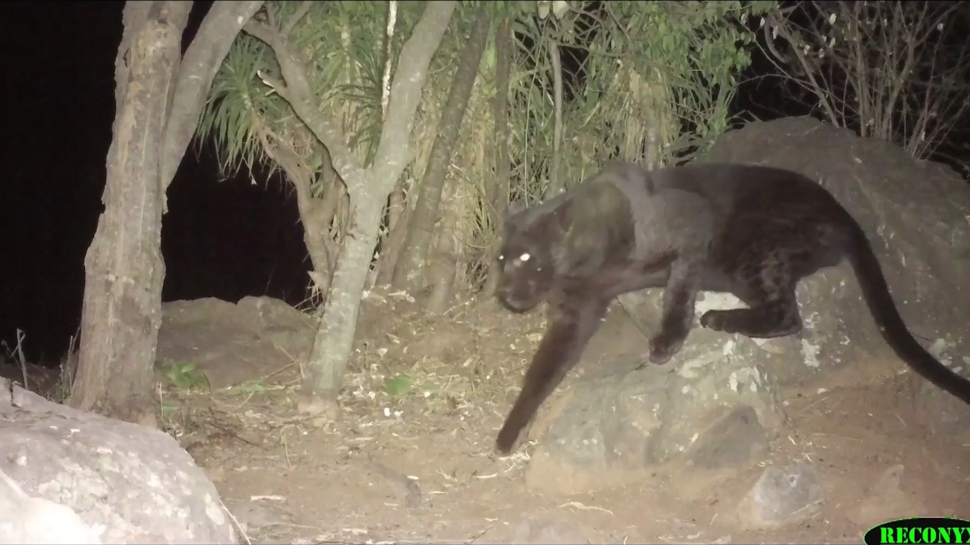 Still from undated footage shows black leopard caught on camera in Kenya
