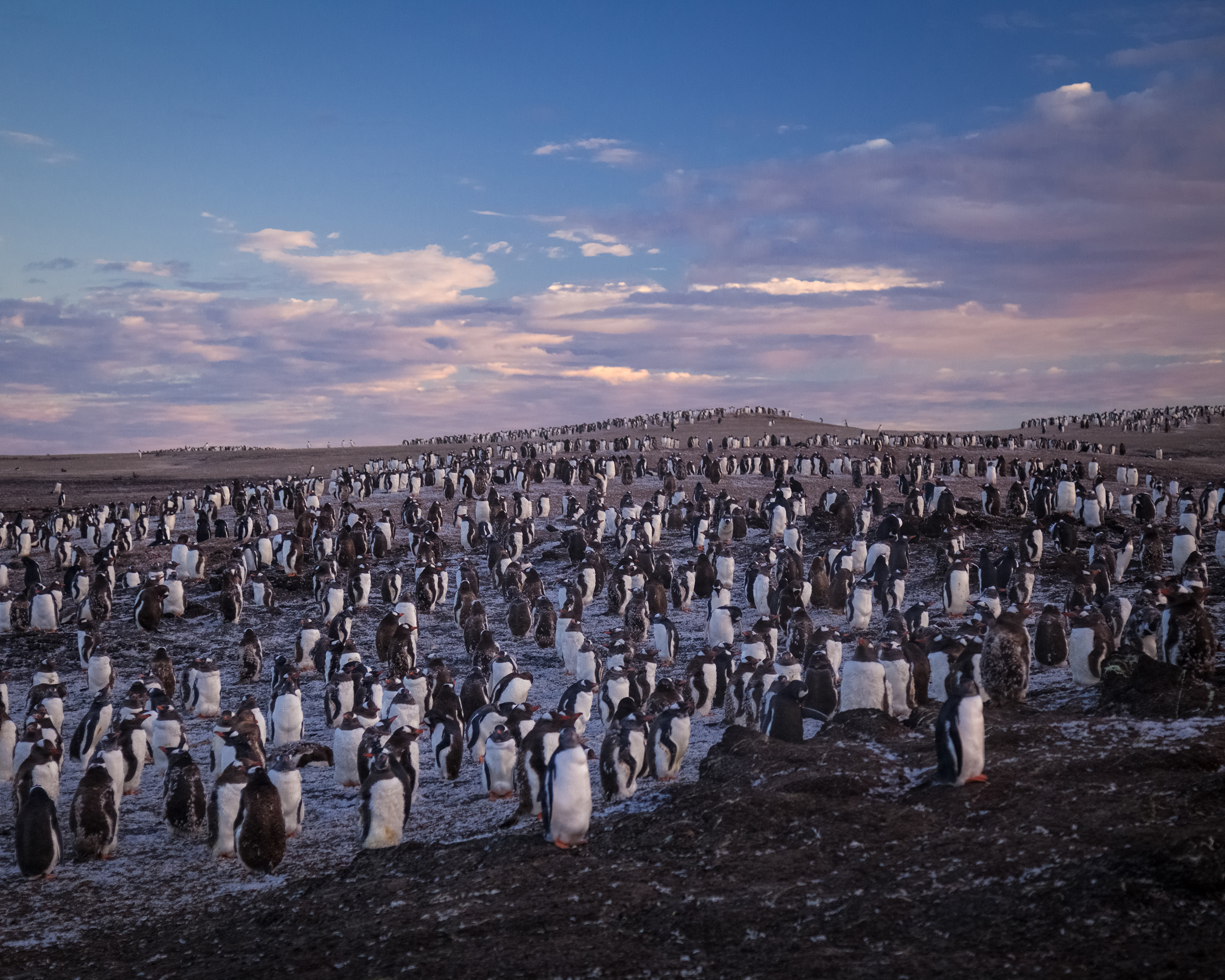 A gentoo penguin colony greets the sunrise at Saunders Island, in the Sub-Antarctic Falkland Islands.