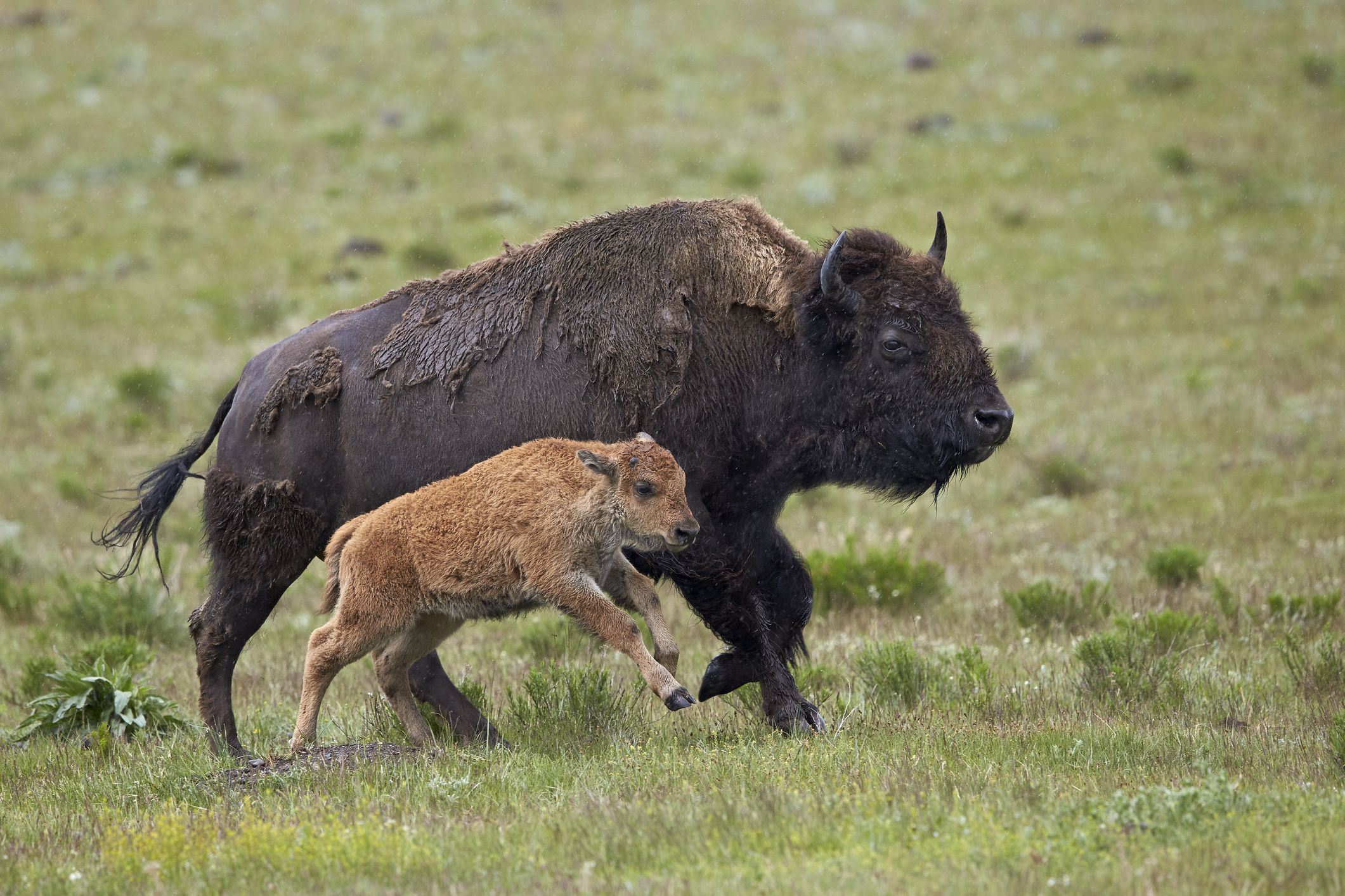 A bison cow and calf run in Yellowstone National Park, Wyoming.