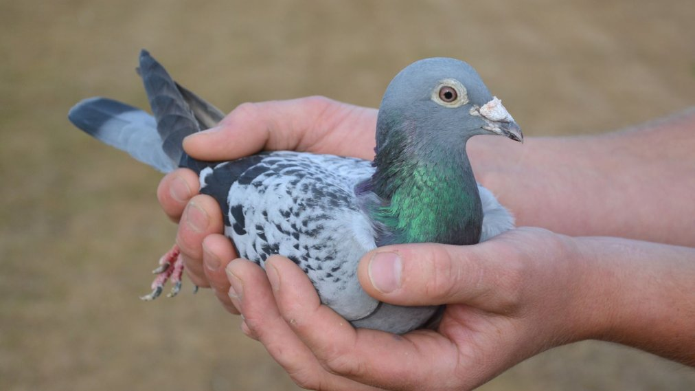 Armando The Pigeon Sells For More Than A Million In Auction Time