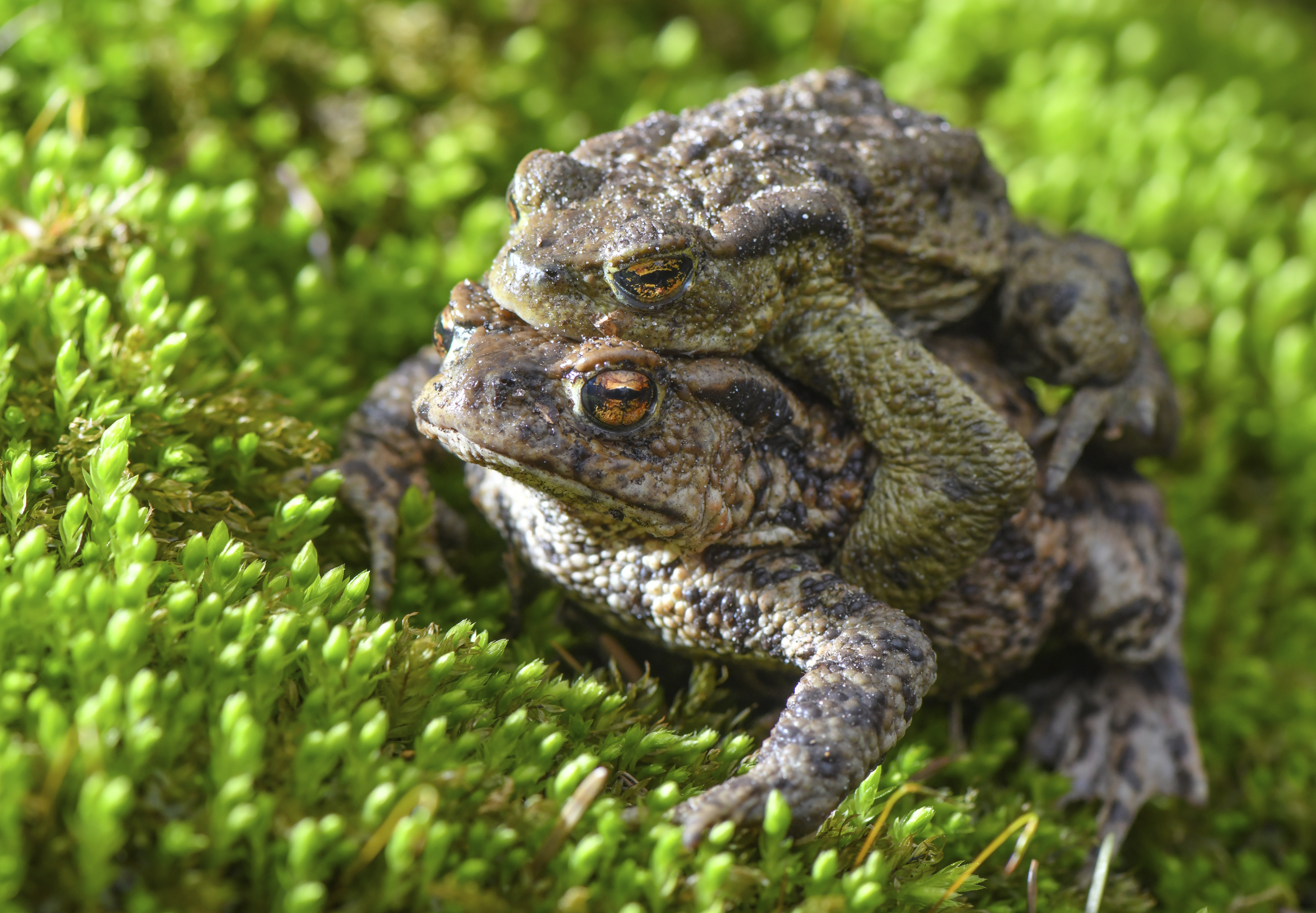A pair of bufo toads crawl over moss on the edge of a small pond in Brandenburg, Germany on March 22, 2019.