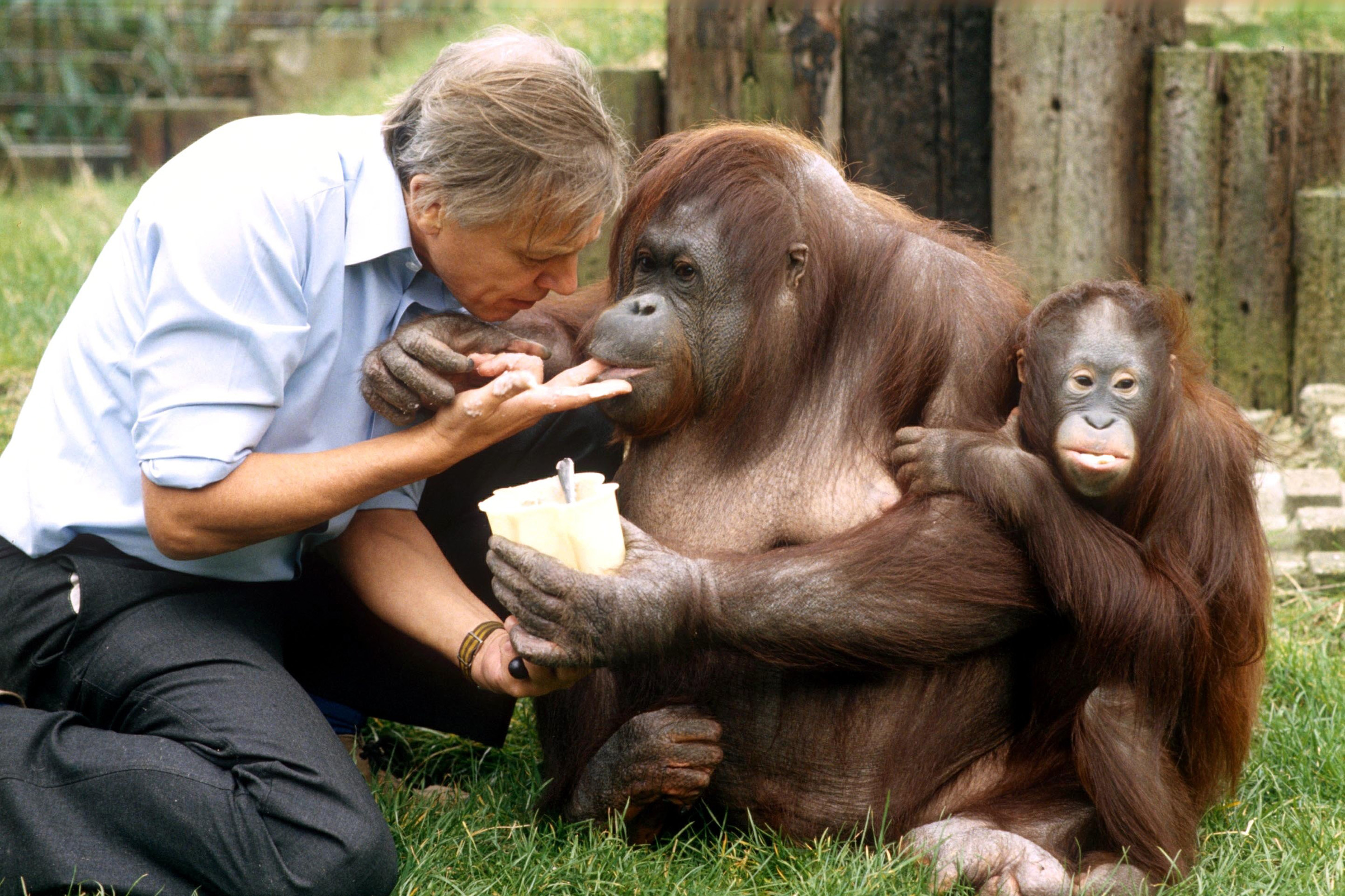 Attenborough with orangutans at the London Zoo