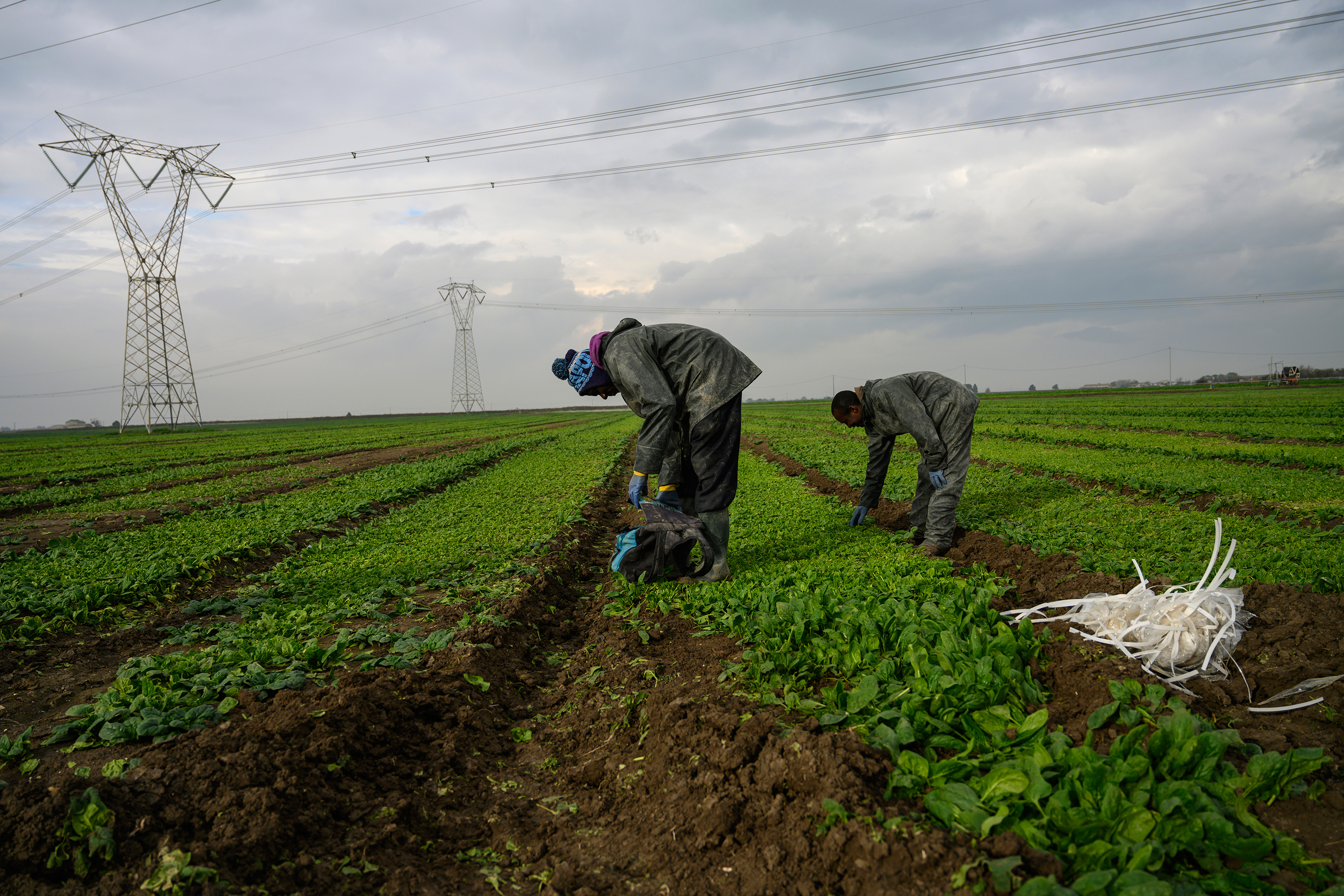 African day laborers who are part of the caporalato system of cheap labor work the fields around Foggia, Italy