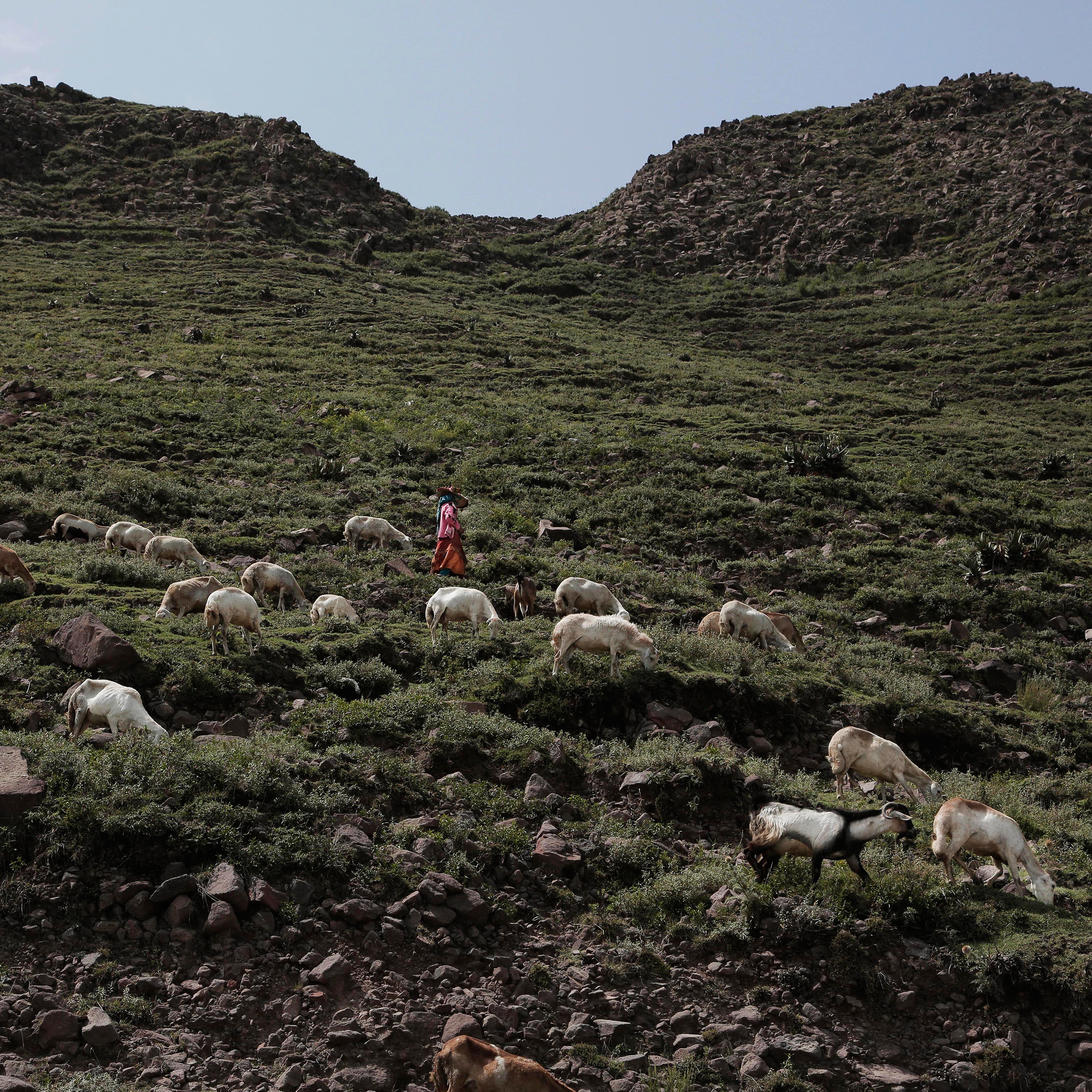 A farmer leads her sheep along the side of a mountain in Ibb, Yemen, on Aug. 3, 2018.