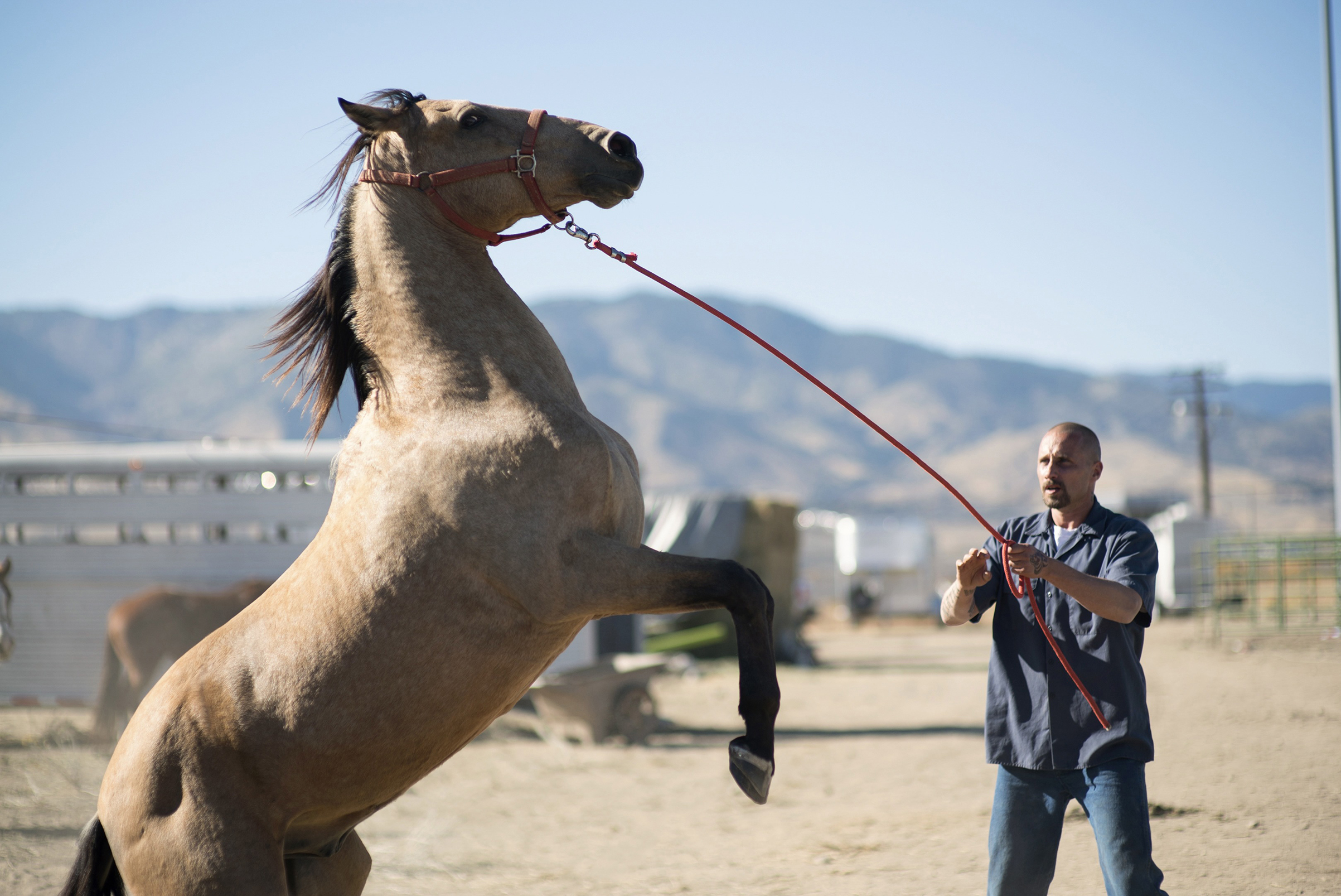 A Wild Horse And An Inmate Tame Each Other In The Mustang Time