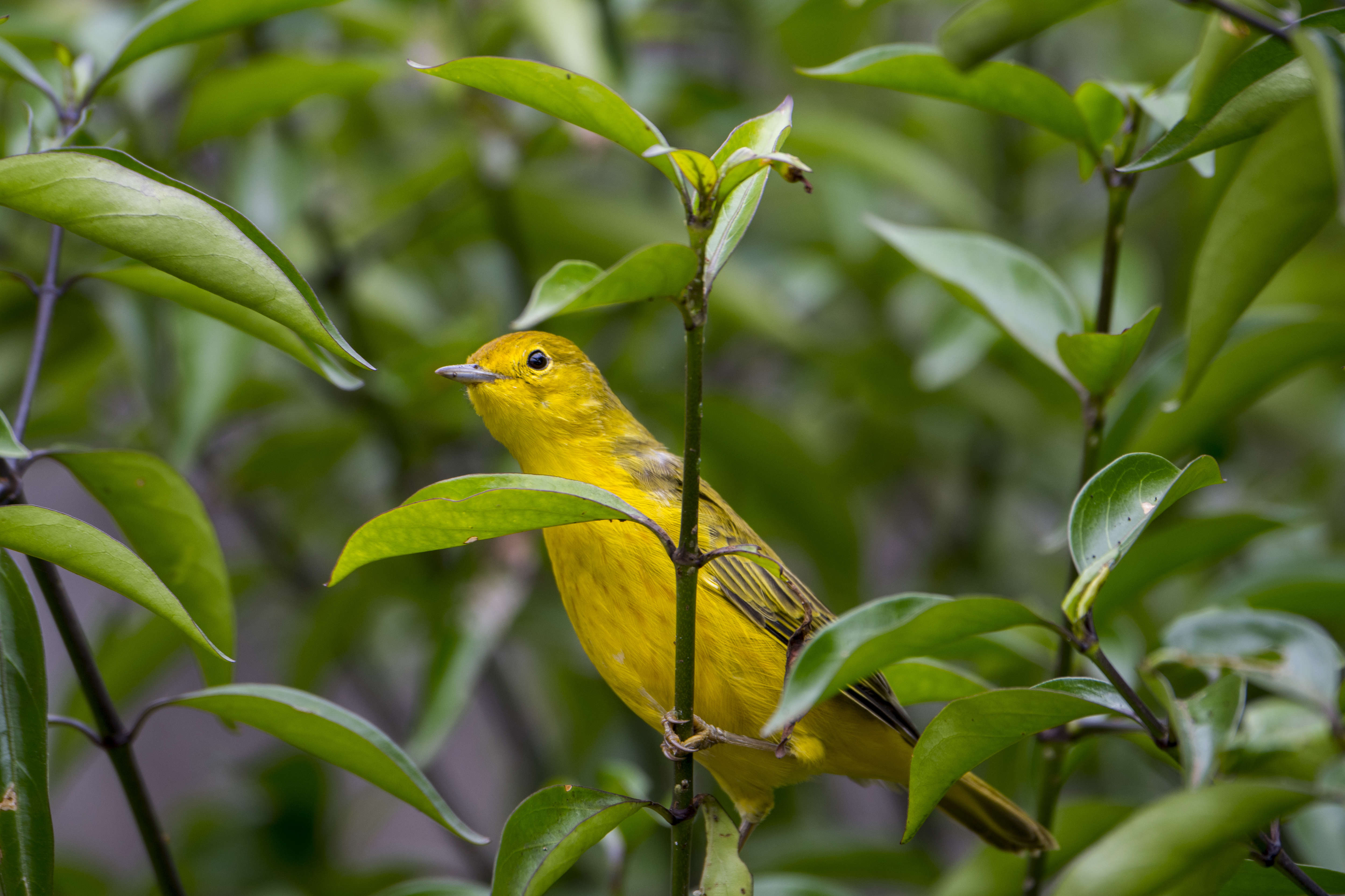 A Yellow warbler (Dendroica petechia) in the highlands of San Cristobal Island (Isla San Cristobal) or Chatham Island in the Galapagos Islands, Ecuador. (Photo by Wolfgang Kaehler/LightRocket via Getty Images)