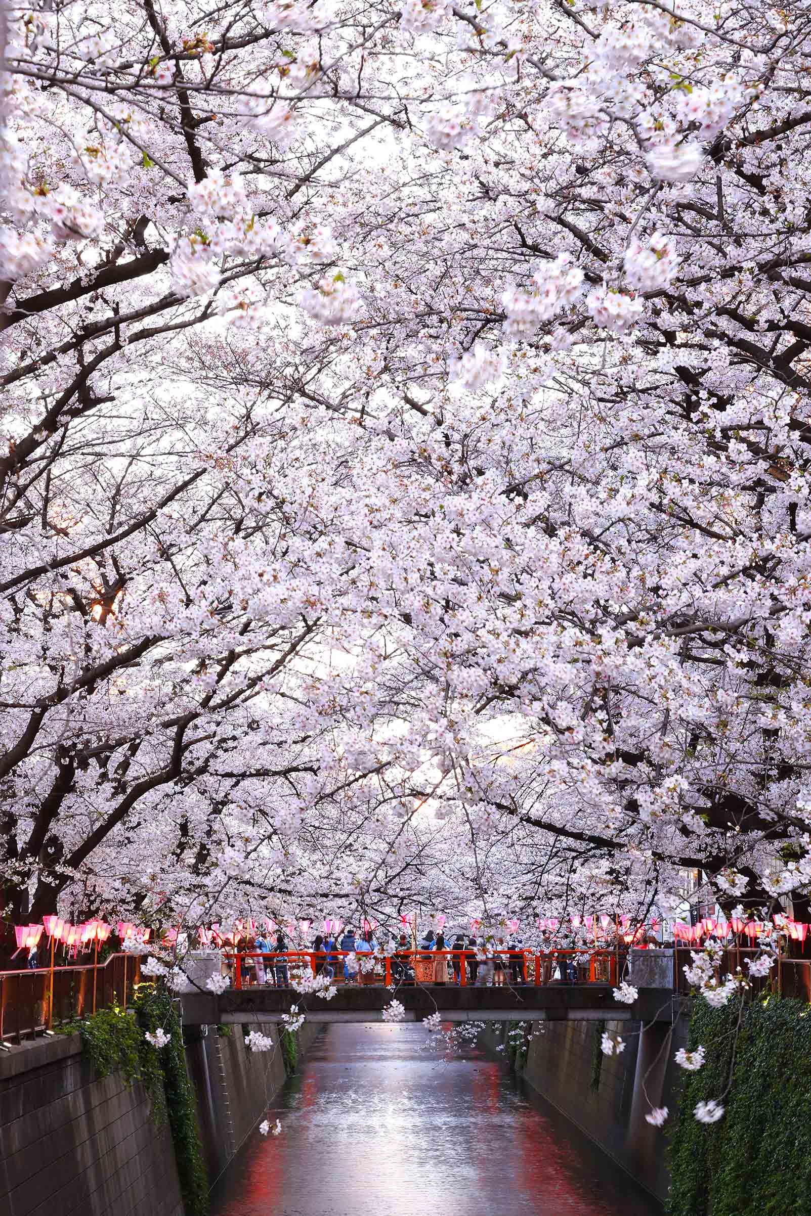 The famous cherry blossoms in bloom on the banks of the Meguro River in Tokyo