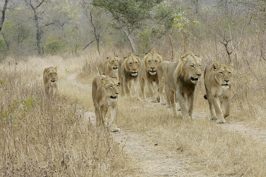 A pride of lions in Kruger National Park, South Africa, in 2006