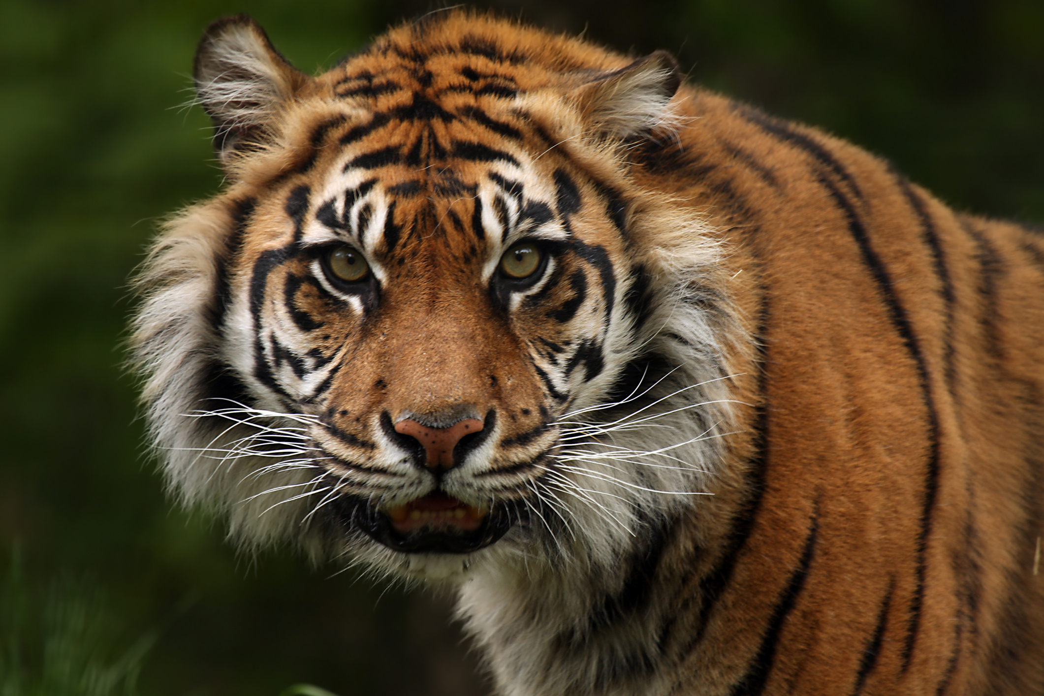 A critically endangered Sumatran Tiger.