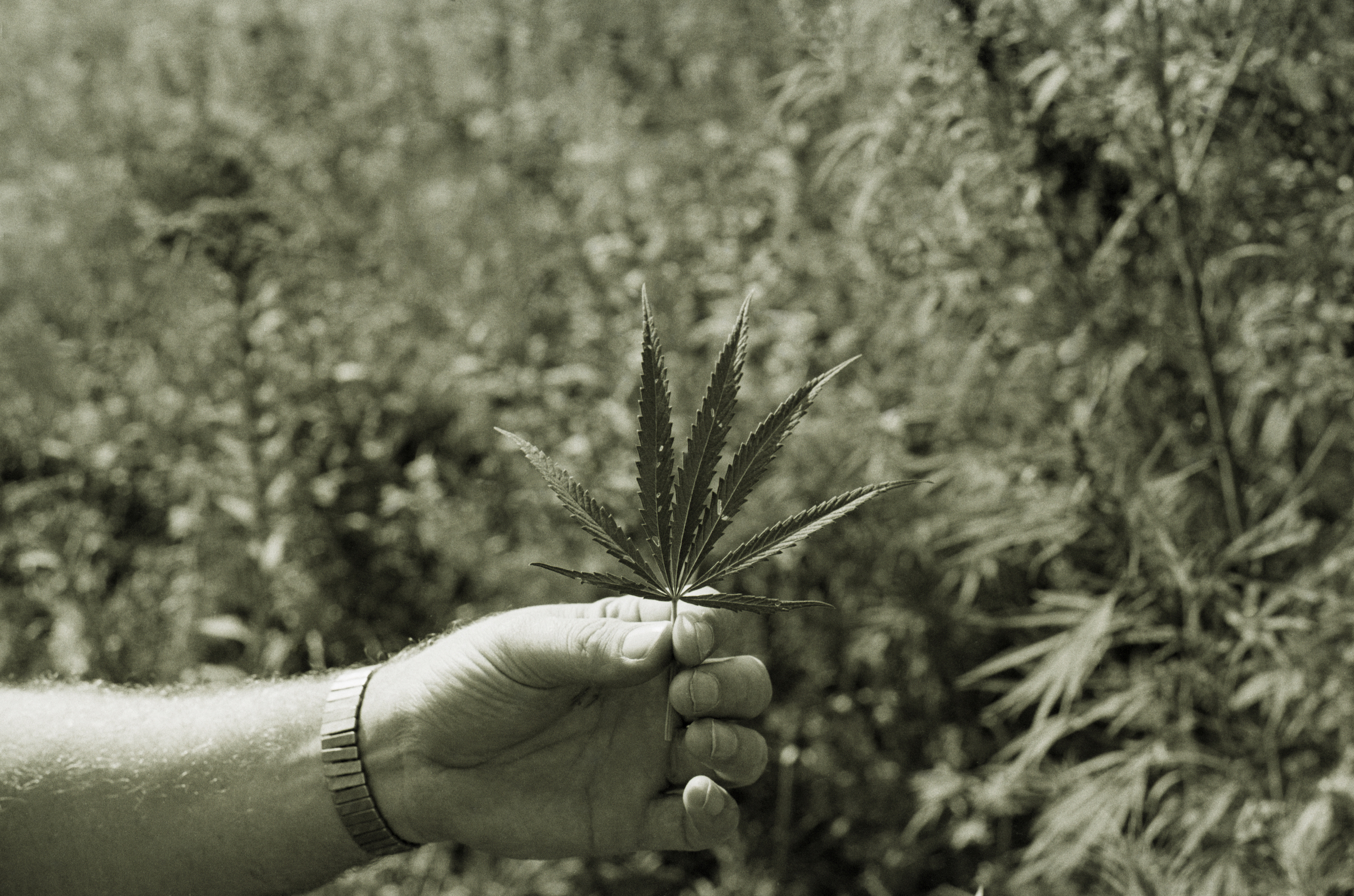 A section of leaves from a wild marijuana plant is held up for close inspection in a field west of Kearney, Neb., in 1973.