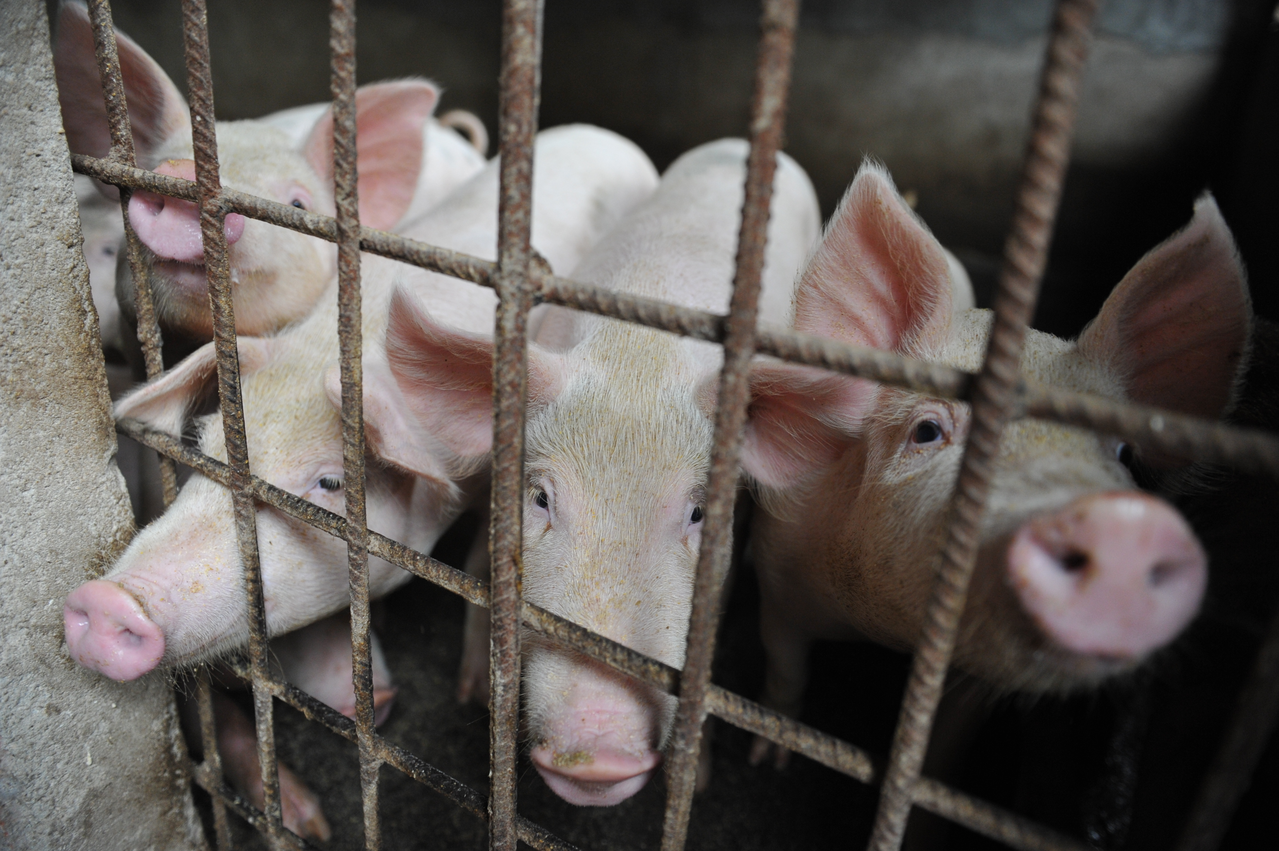 Pigs are seen in a hog pen in a village in Linquan county in central China's Anhui province on Aug. 31, 2018.