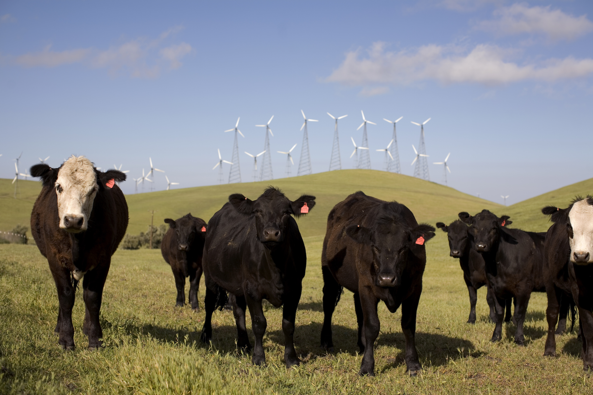Beef cattle graze on a hillside below wind-power towers 50 miles east of San Francisco on April 14, 2008