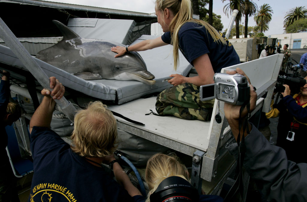 Trainer Jen Patten calms a Navy Dolphin before it is transported to a boat before a training exercise at Naval Base Pt. Loma on April 12, 2007 in San Diego, California.
