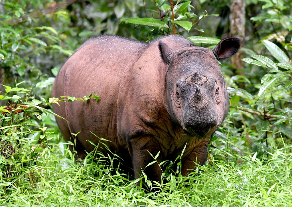 A Sumatran rhino is seen at Way Kambas National Park in eastern Sumatra, Indonesia, on Nov. 8, 2016.