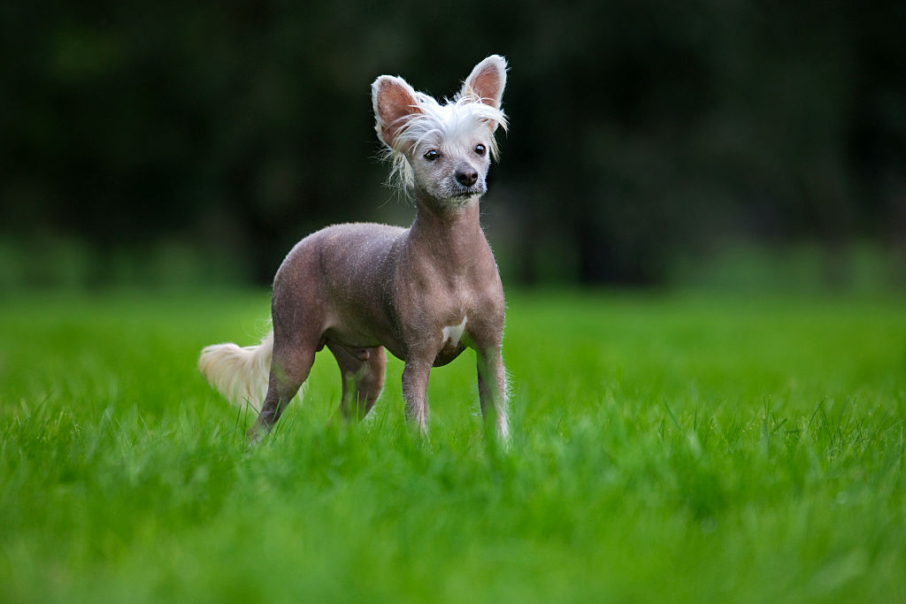 A Chinese crested dog in a garden.