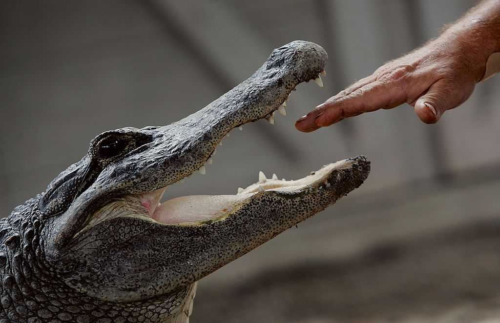 Tom Batchelor puts his hand in the mouth of an alligator during a wildlife show at the Gator Park in the Florida Everglades May 17, 2006 in Miami-Dade County.