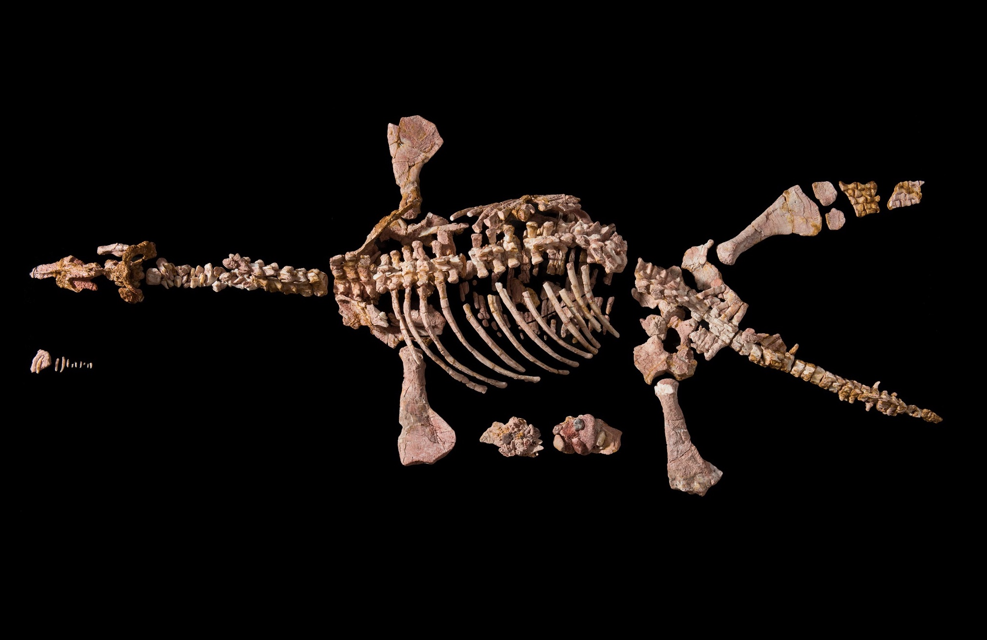The opalized remains of Eric, a pliosaur from the Mesozoic Era, were discovered in 1987 by an opal miner at Coober Pedy, South Australia. Today they're displayed at the Australian Museum in Sydney.