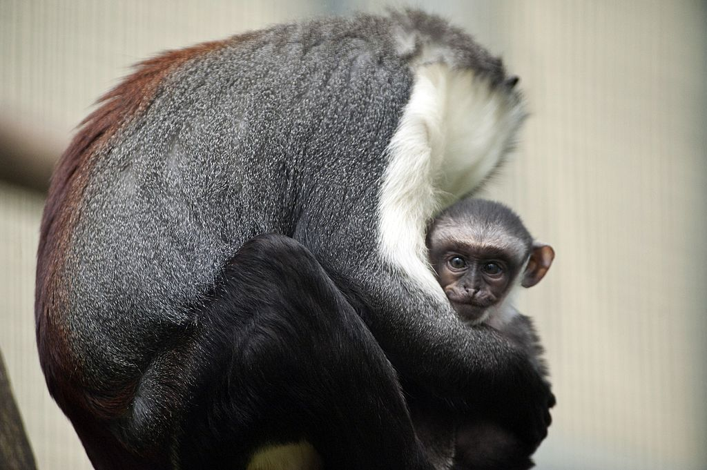 Owabi (R), a two-week-old monkey cub of the Cercopithecus roloway family, one of the 25 most endangered primate species in the world, is pictured with its mother, Nyaga, on August 2, 2012 at the zoo in Mulhouse, eastern France.