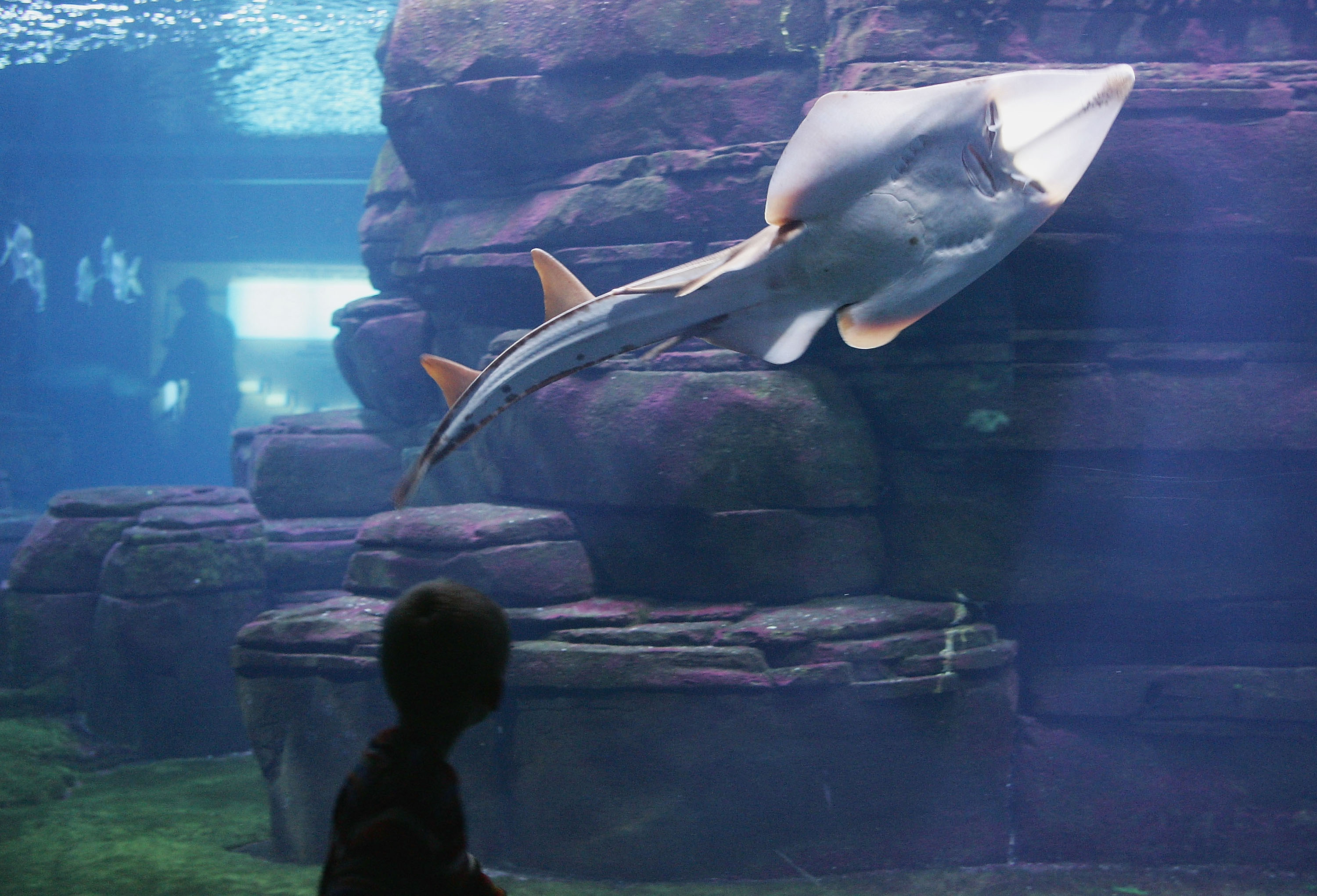 A little boy looks at Rhinobatos armatus, also known as a guitarfish, swim past in a tank at the Berlin Aquarium November 27, 2004 in Berlin, Germany.