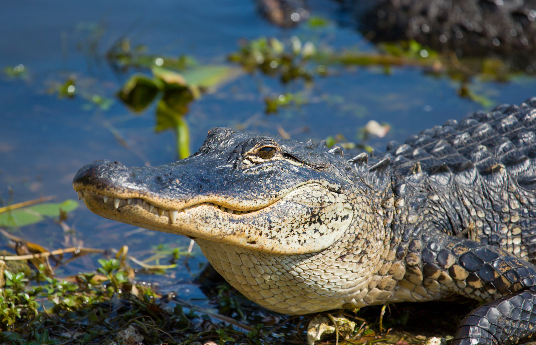 A smiling alligator. Florida