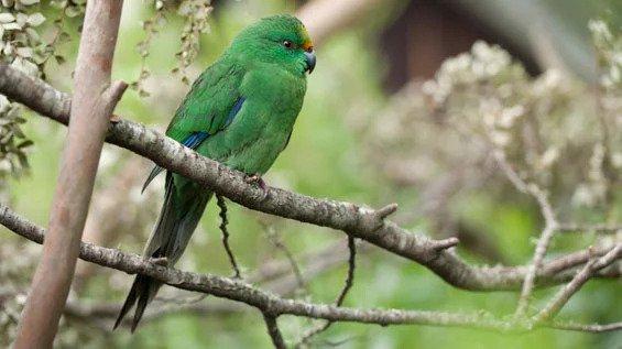 An orange-fronted parakeet, or kākāriki karaka