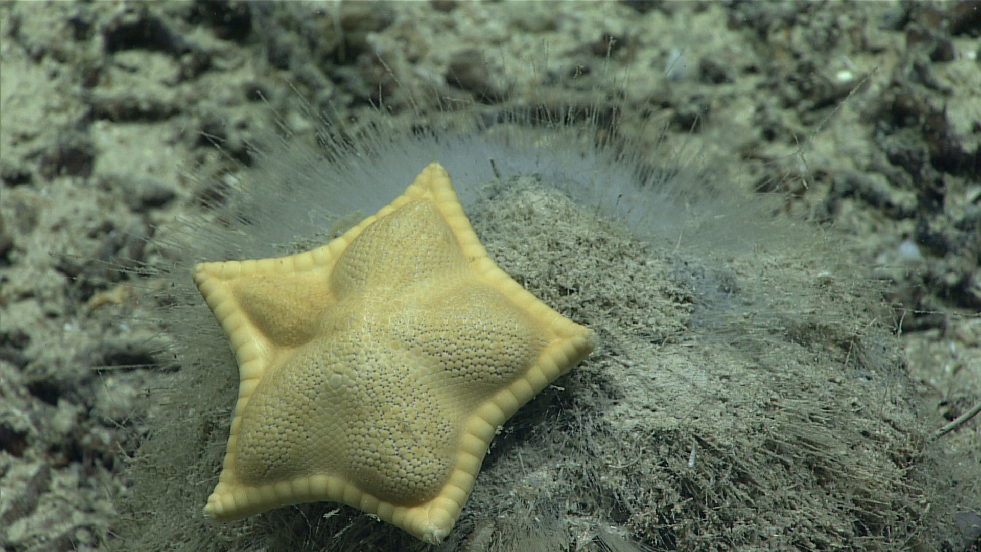 Plinthaster dentatus, the spongivorous 'cookie' or 'ravioli' star.