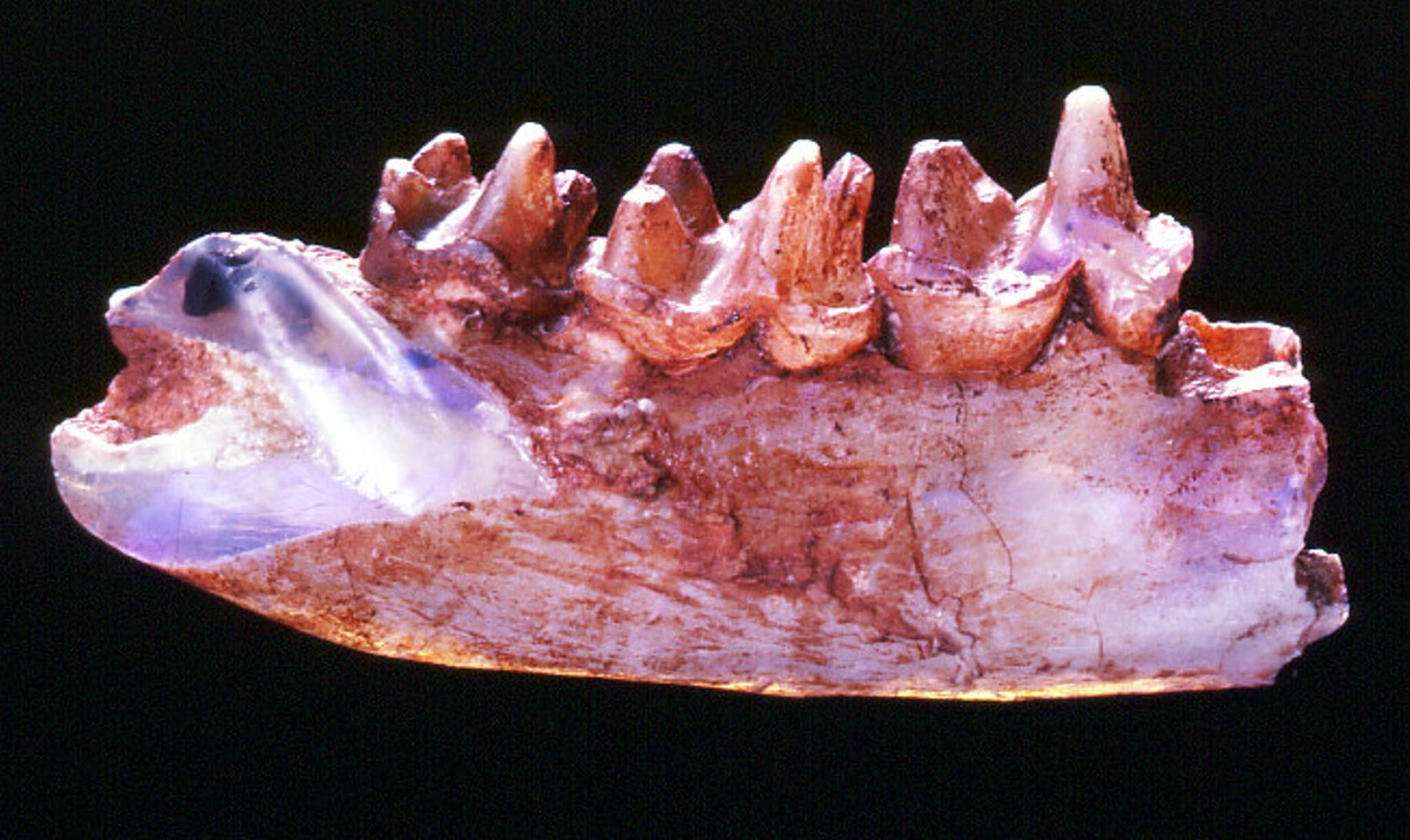 This opalized jawbone from Steropodon galmani, the first mammal from the Mesozoic Era found in Australia, hints at the spectacular diversity of early mammals on the continent.