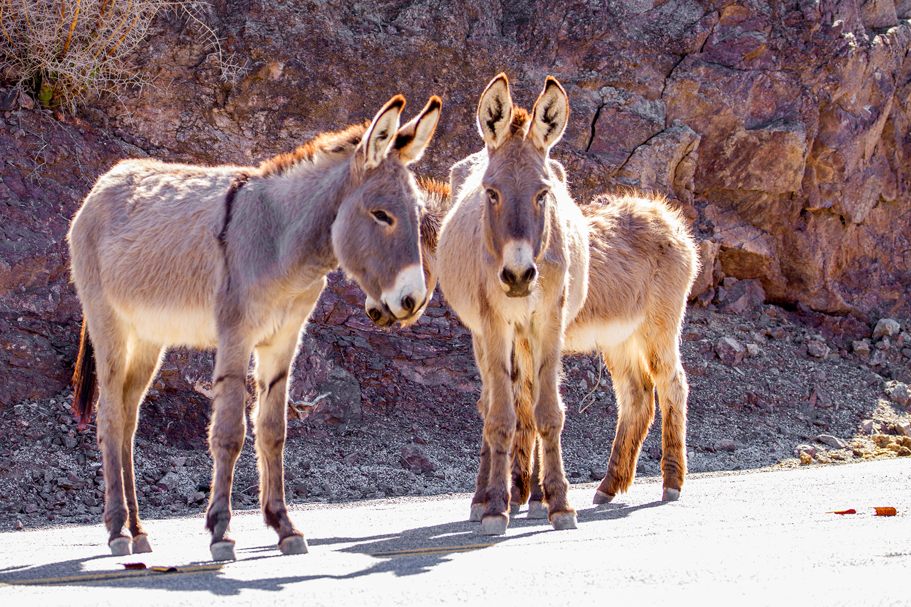 This undated photo provided by the U.S. Bureau of Land Management shows two feral burros in the Mojave Desert within the BLM's Needles, Calif., Field Office. Someone has been killing the wild burros of California's Mojave Desert, and the BLM is offering up to $10,000 to anyone who can help catch the culprit.