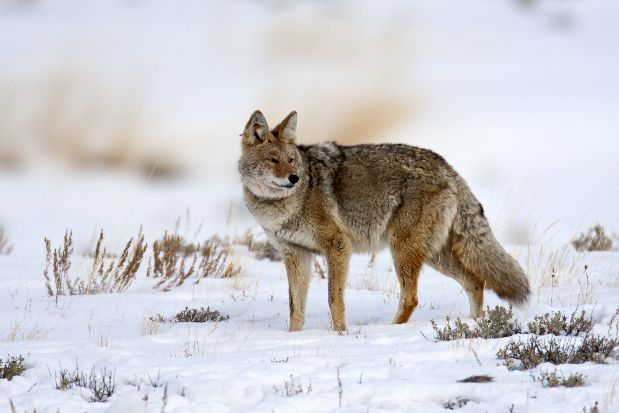 A Coyote in Yellowstone National Park in 2009.