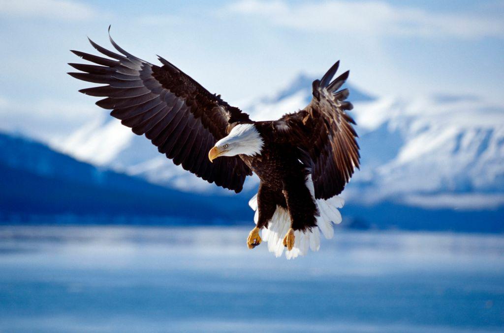 Bald Eagle (Haliaeetus leucocephaus) in flight Alaska, USA.
