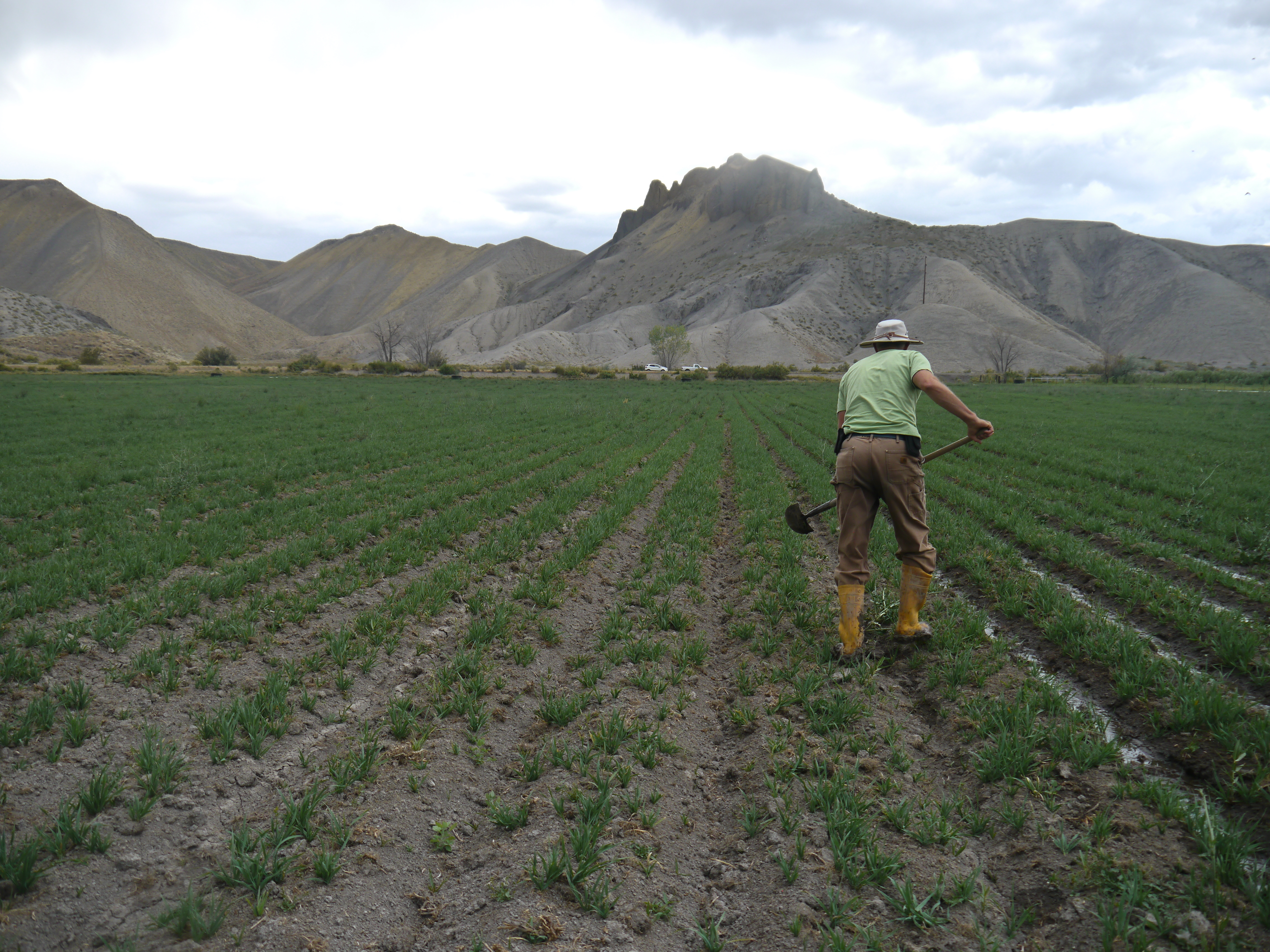 Paul Kehmeier irrigating an oat field on his family farm in Colorado.