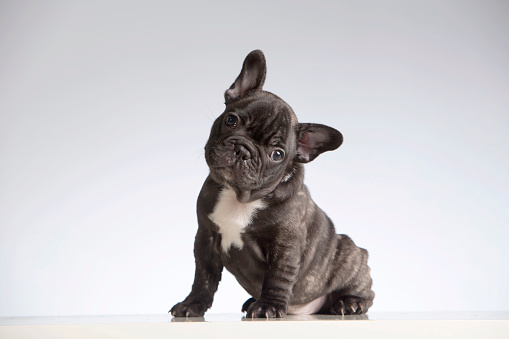 French Bulldog looking at the camera