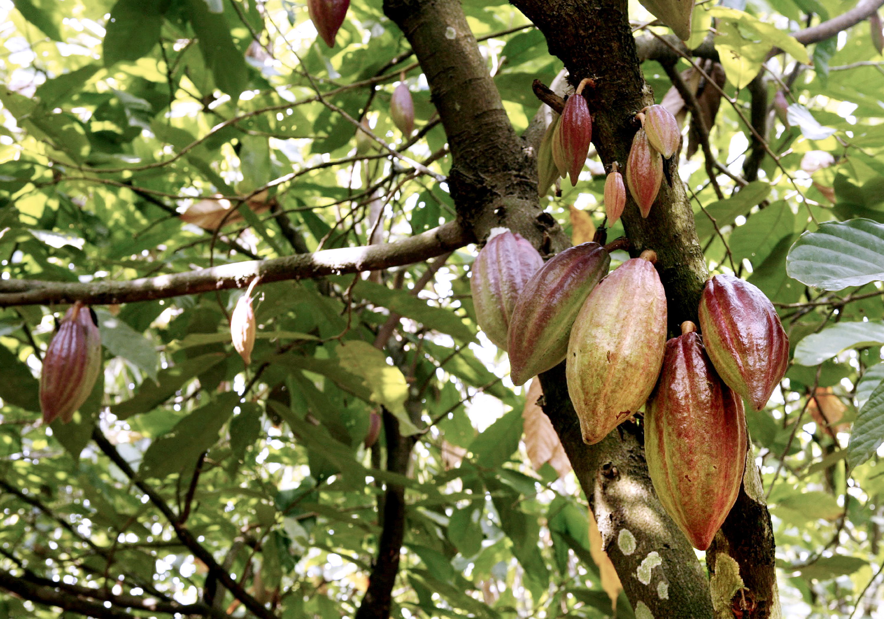 Cocoa pods hang from a tree on a farm outside of Kumasi, Ghana, on Tuesday, Feb. 12, 2008.